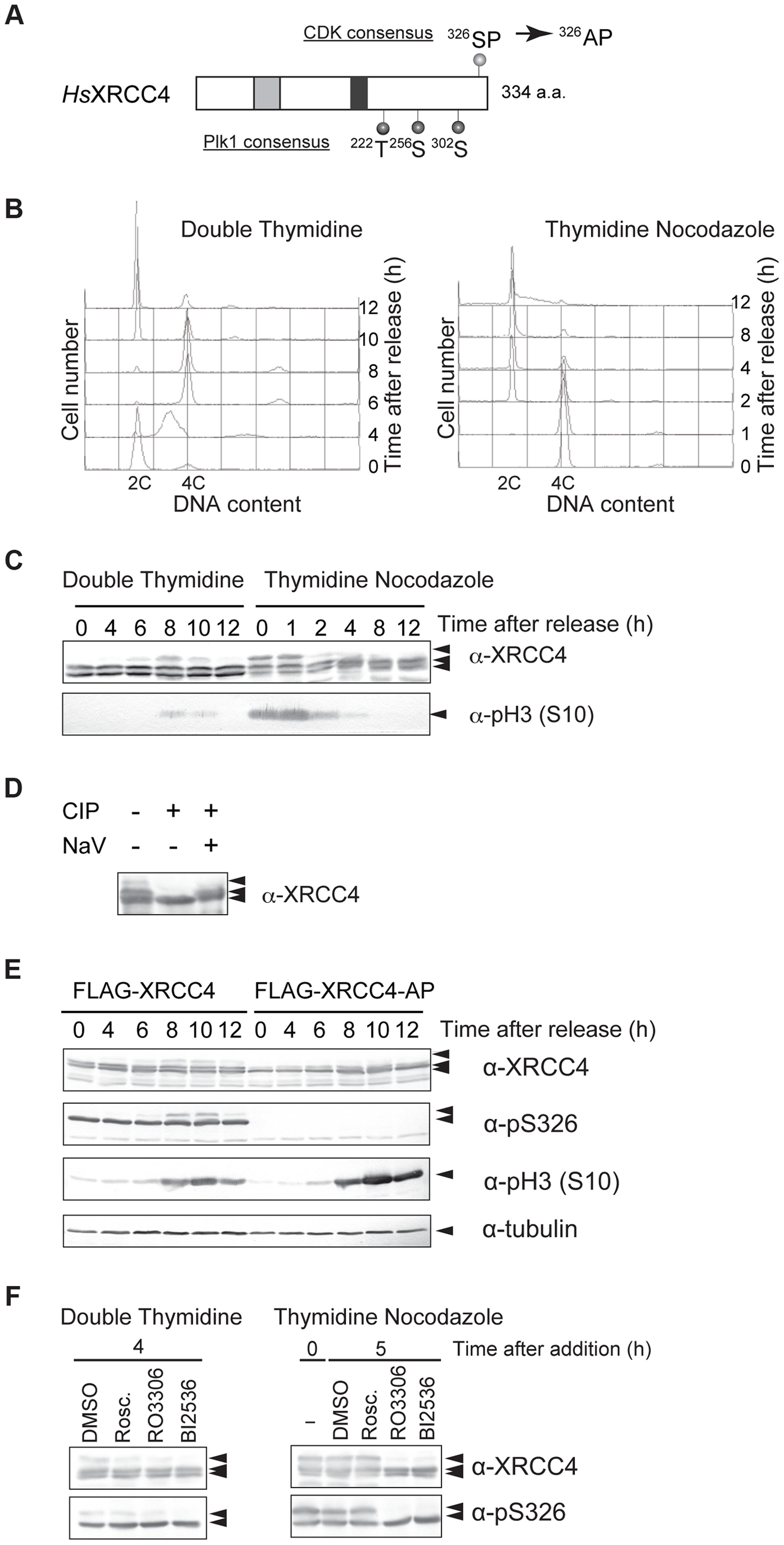 M-phase specific phosphorylation of XRCC4.