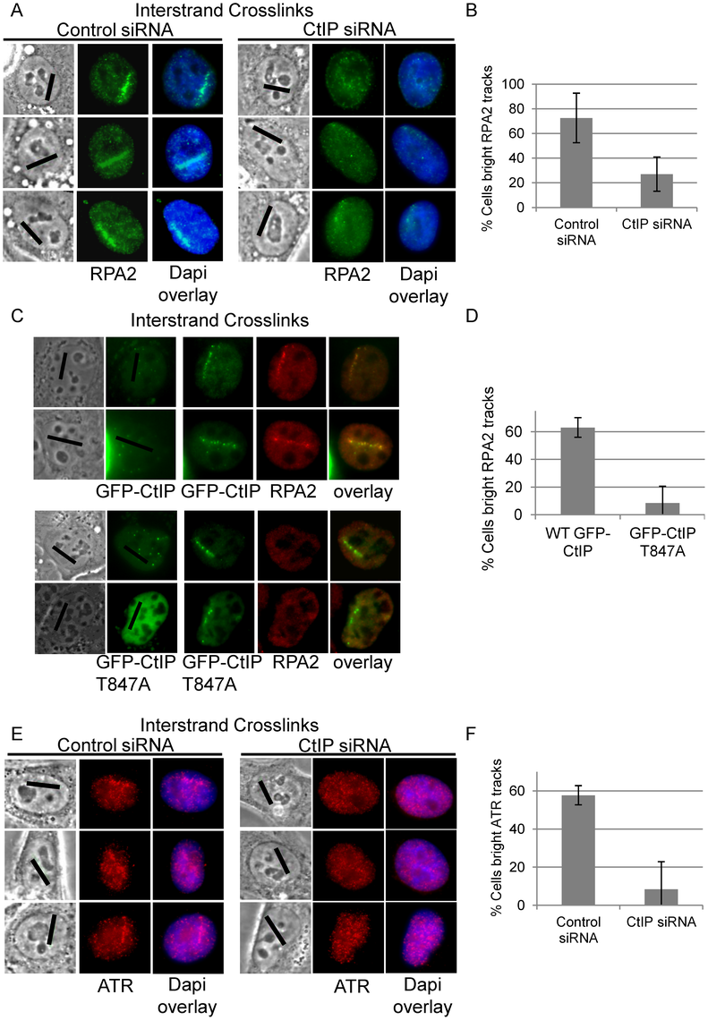 CtIP depletion reduces RPA and ATR accumulation at ICLs.