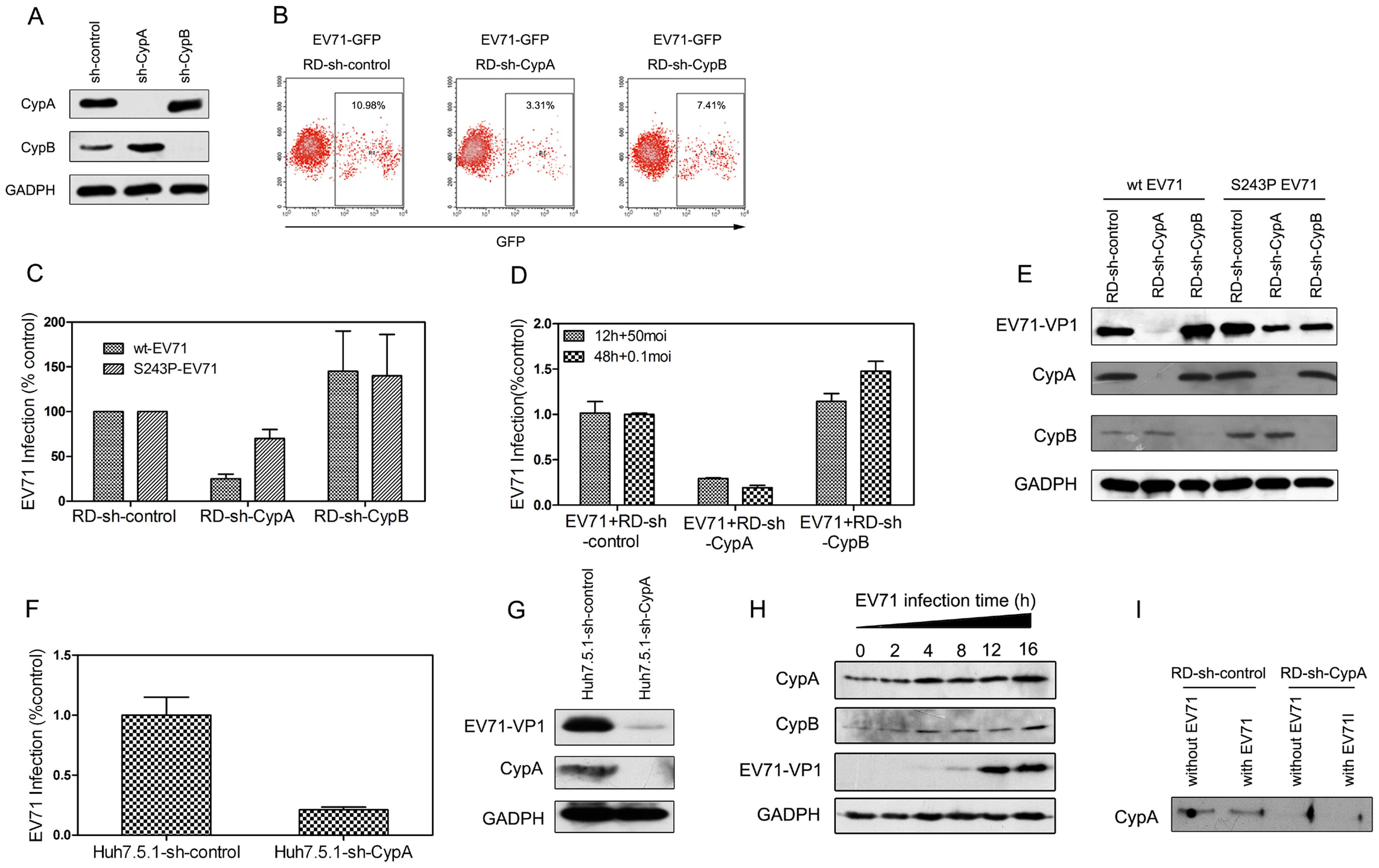 CypA regulated EV71 proliferation.