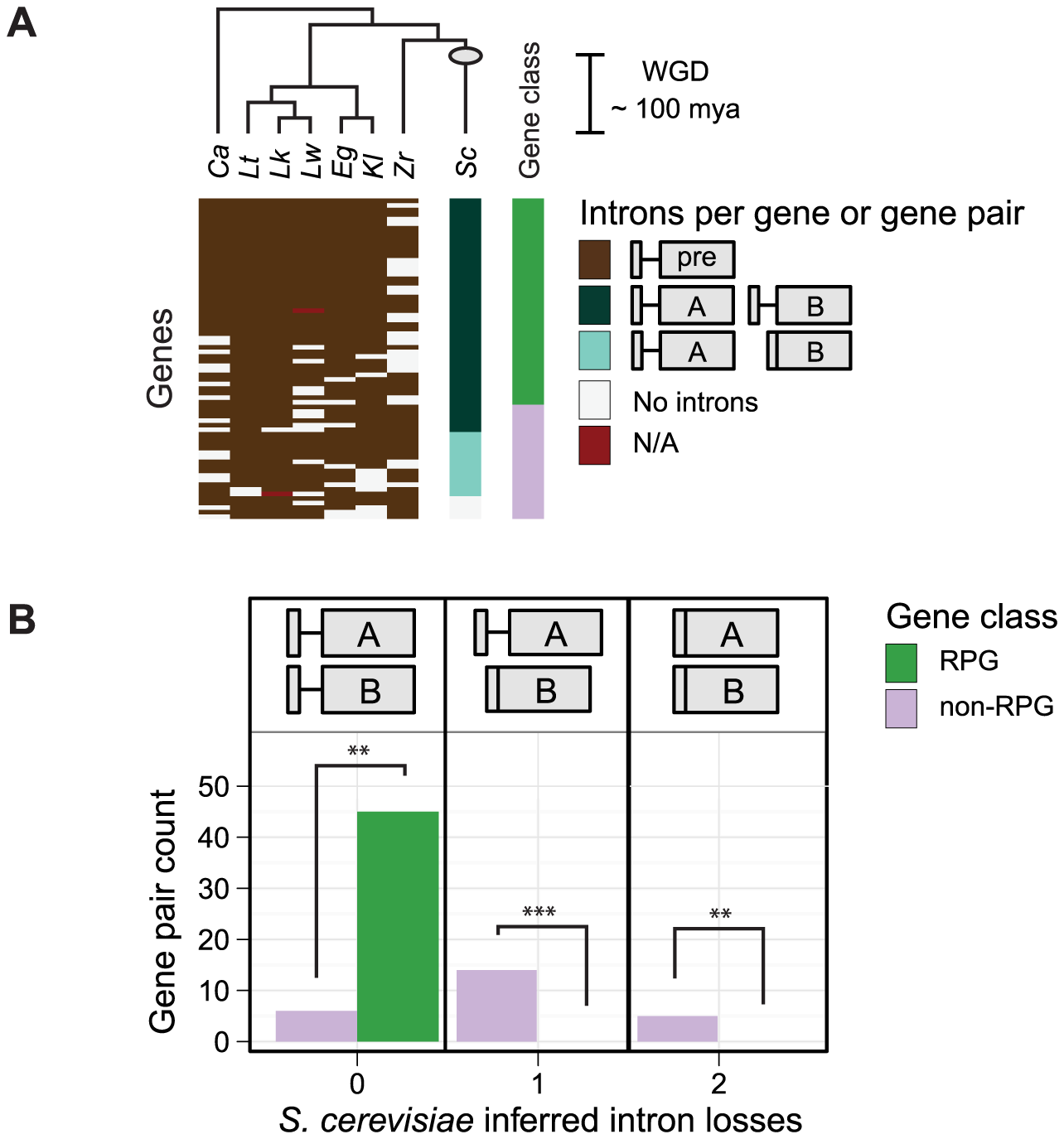 Biased intron loss in hemiascomycetous yeasts after the recent whole-genome duplication event.