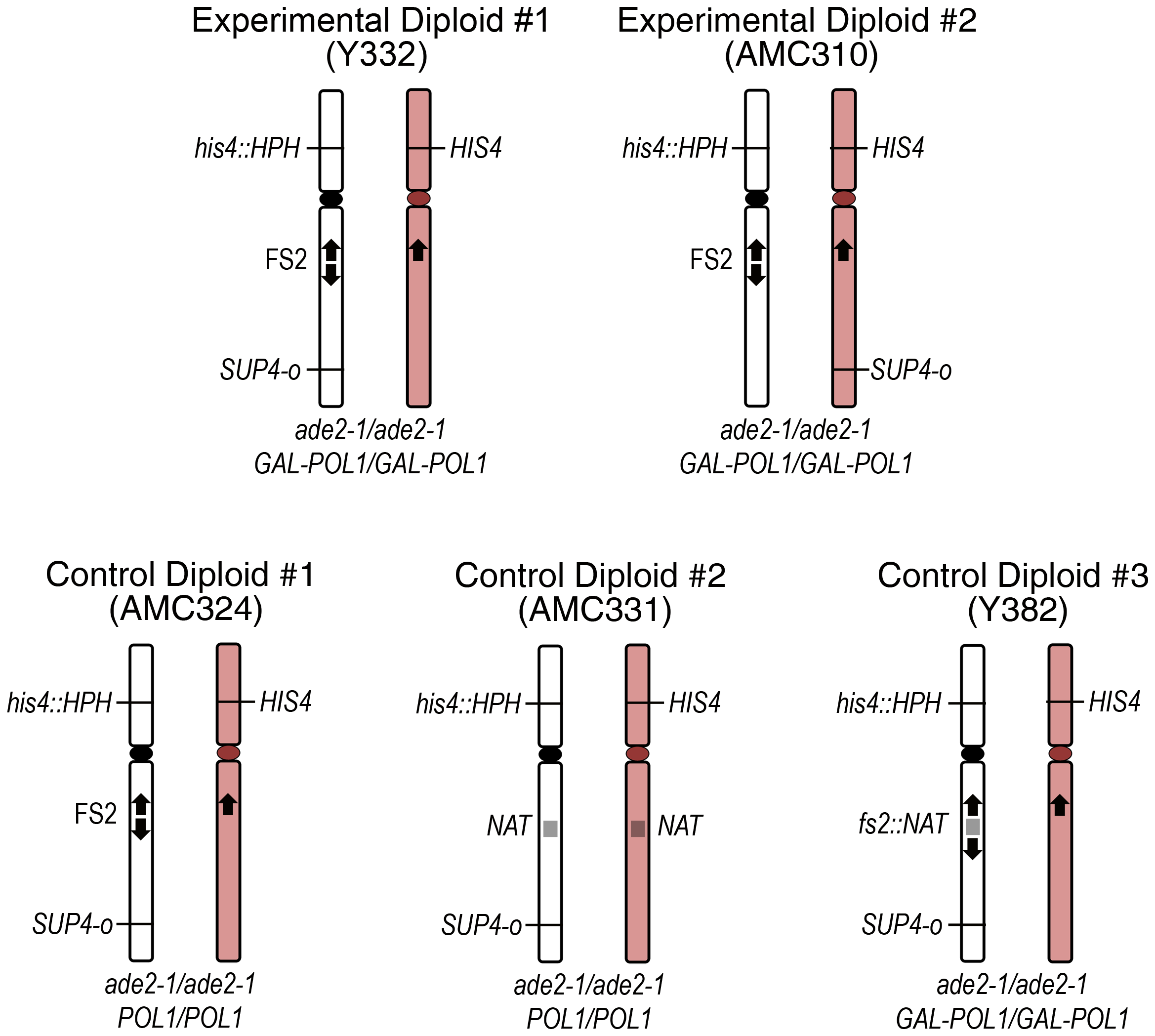 Diploids used for analysis of mitotic recombination events.