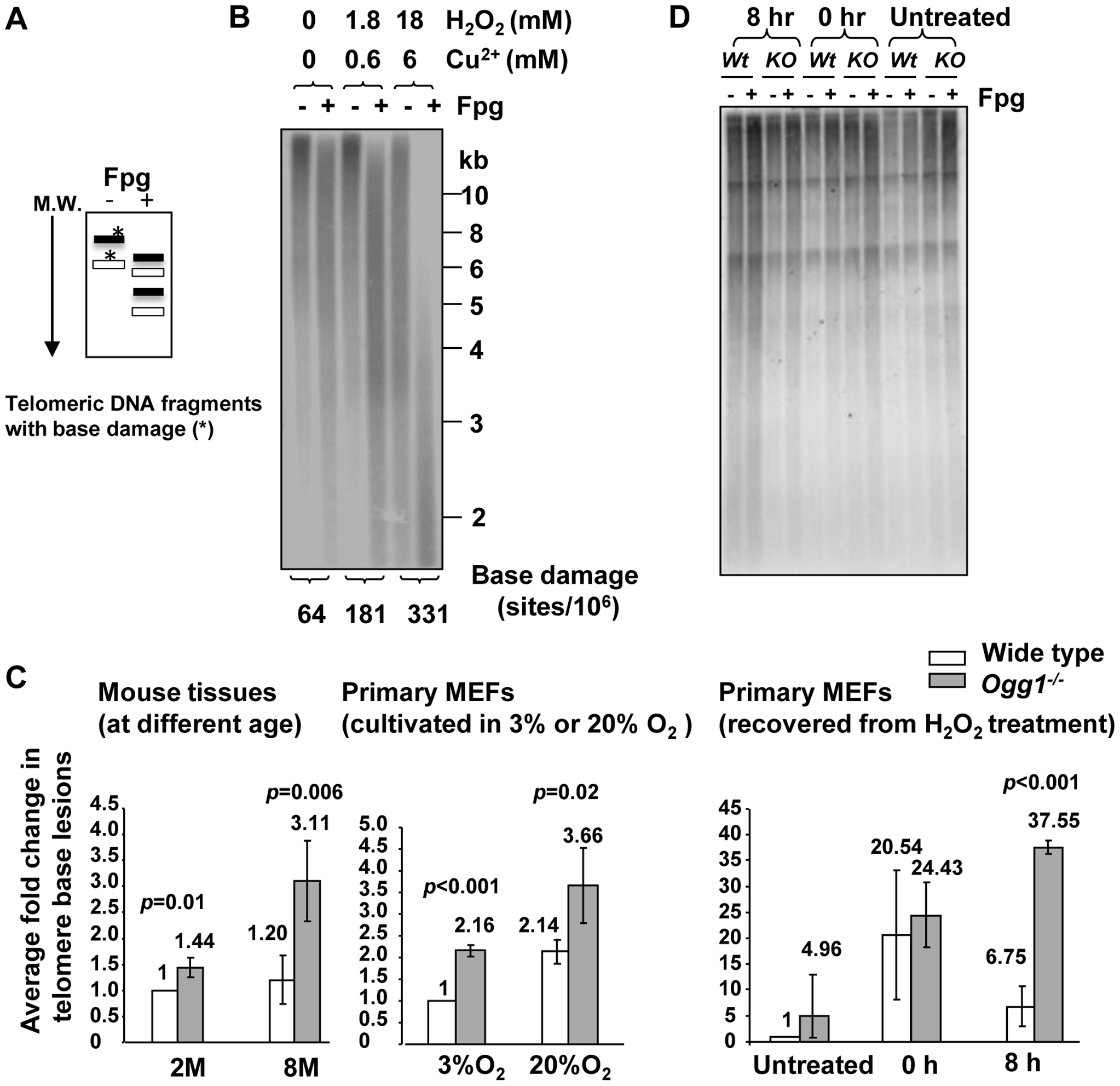 Increased level of Fpg-sensitive DNA lesions in telomeres in <i>Ogg1</i>-deficient mouse tissues and cells.