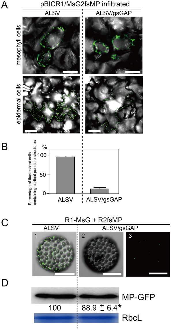 Gene silencing of <i>NbGAPDH-A</i> inhibits the localization of RCNMV MP to the cortical VRCs.