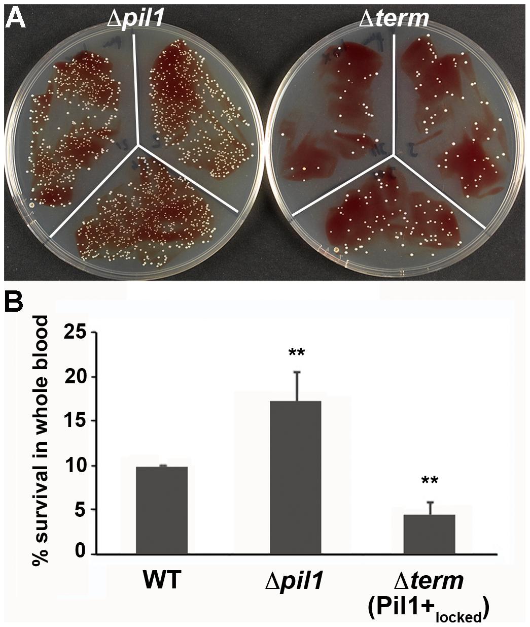 Whole blood survival of <i>S. gallolyticus</i> UCN34 WT, Δ<i>pil1</i>, and Δ<i>term</i> (Pil1+<sub>locked</sub>) strains.