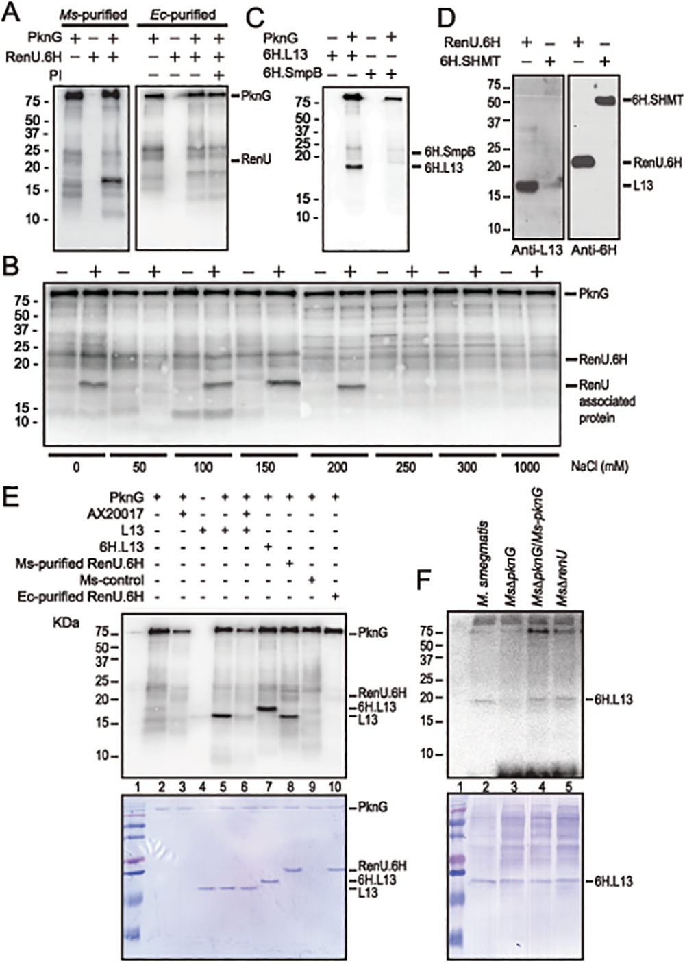 L13, a ribosomal protein associated with RenU, is phosphorylated by PknG.