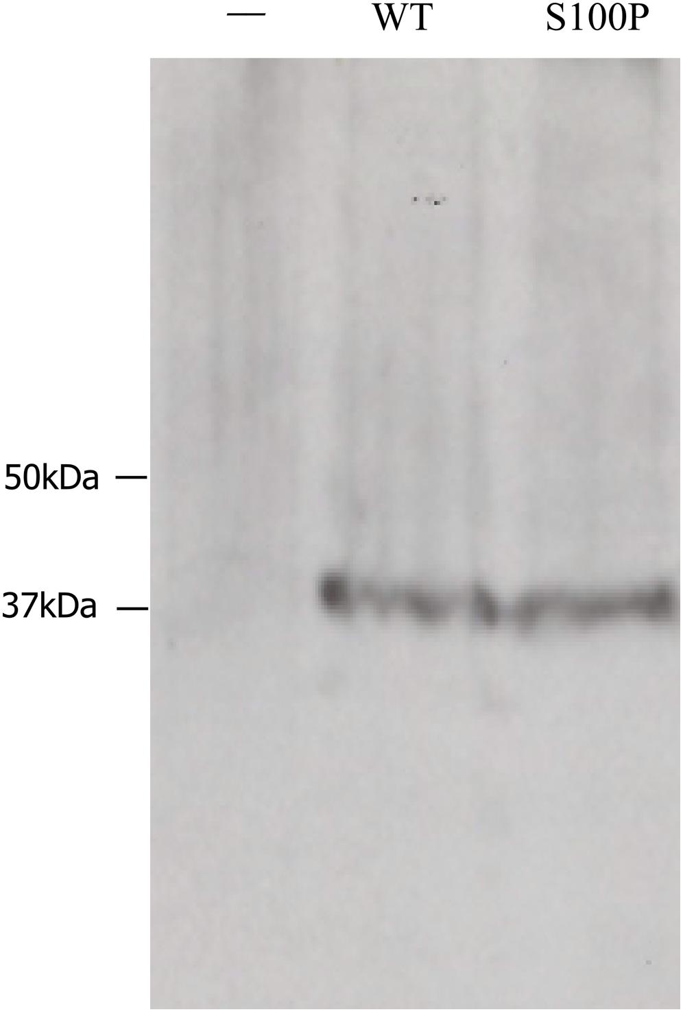 Blot overlay analysis of CA8-ITPR1 binding.
