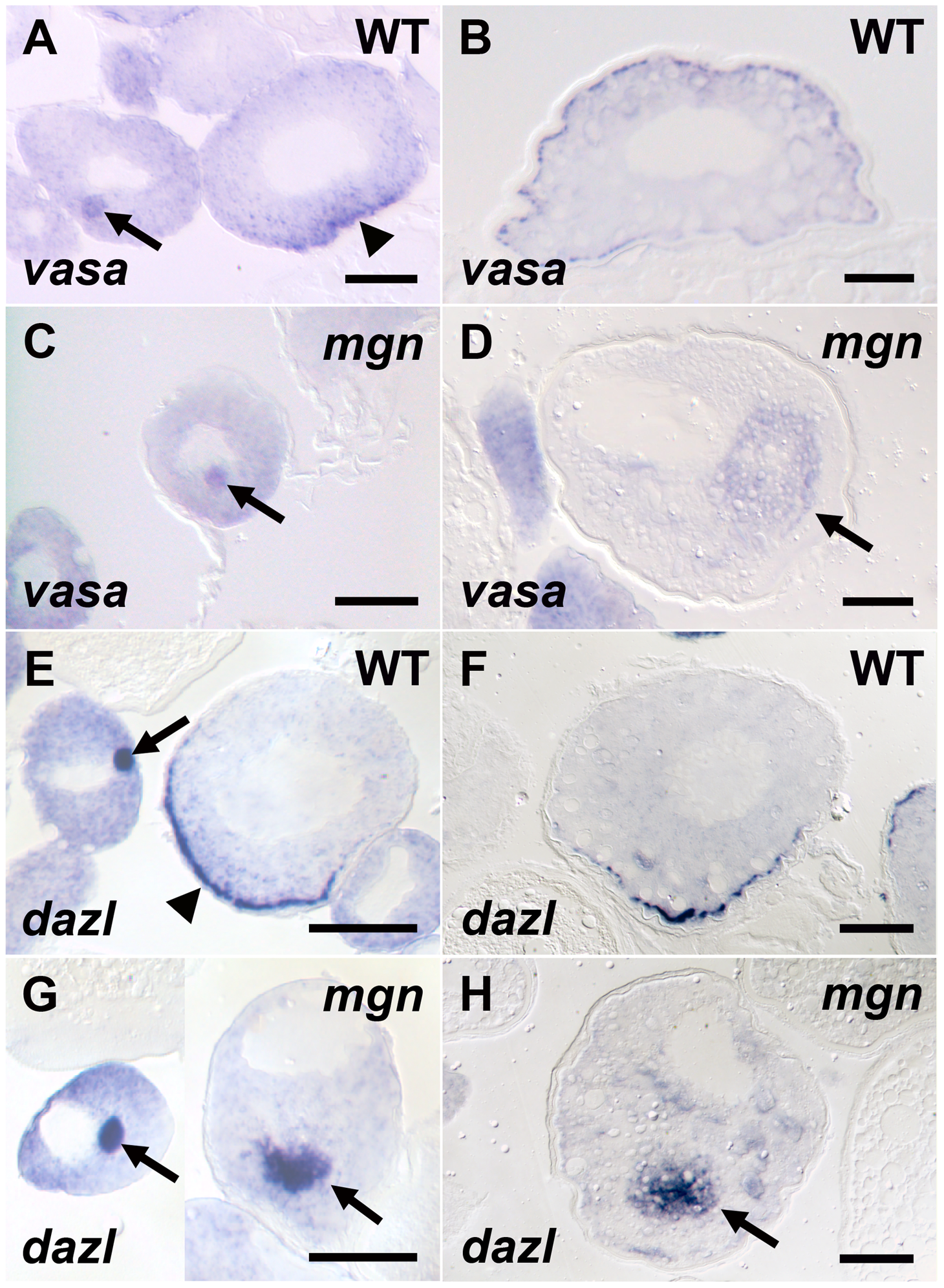Germ plasm RNAs fail to localize to the cortex of <i>mgn</i> mutant oocytes.