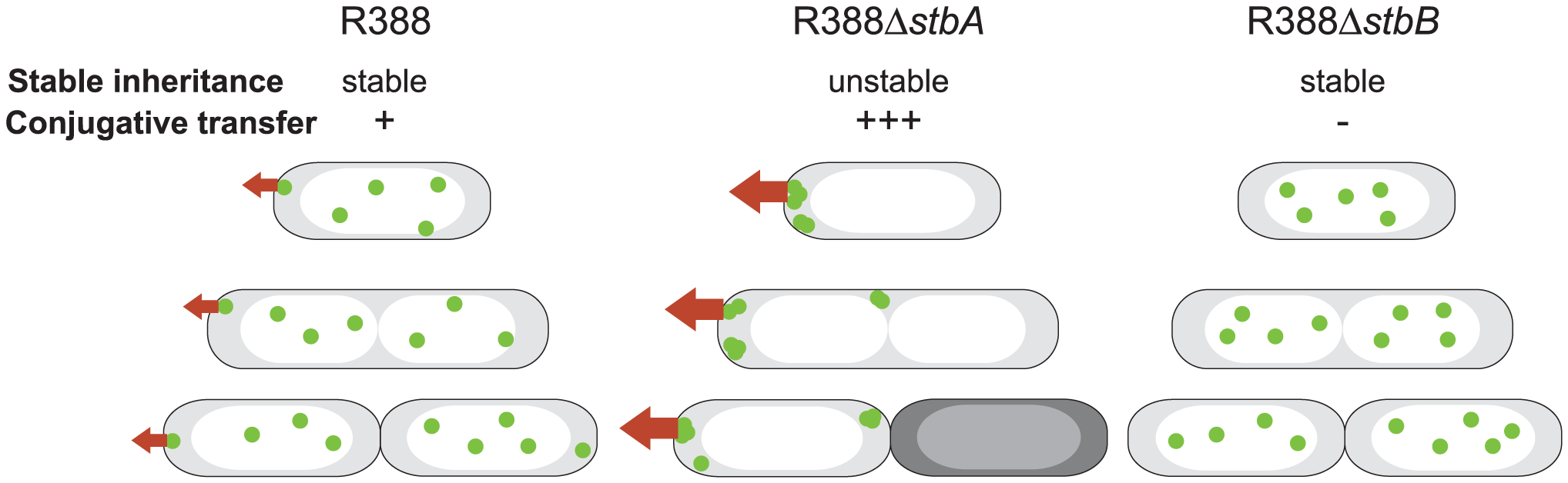 A schematic model to explain the behavior of <i>stb</i> mutants of plasmid R388.