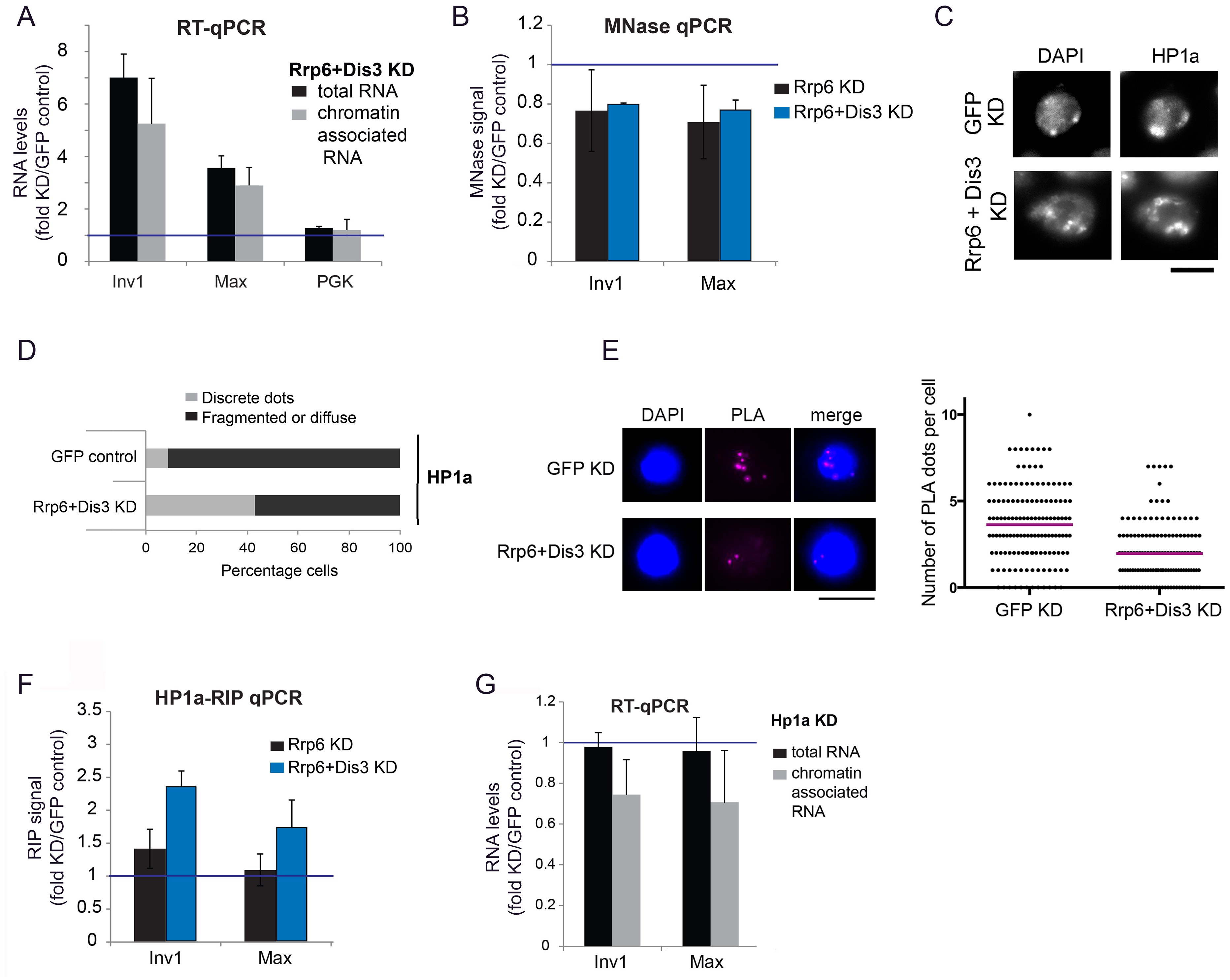 Depletion of exosome ribonucleases alters the compaction of the heterochromatin and increases the levels of heterochromatin-associated transcripts.