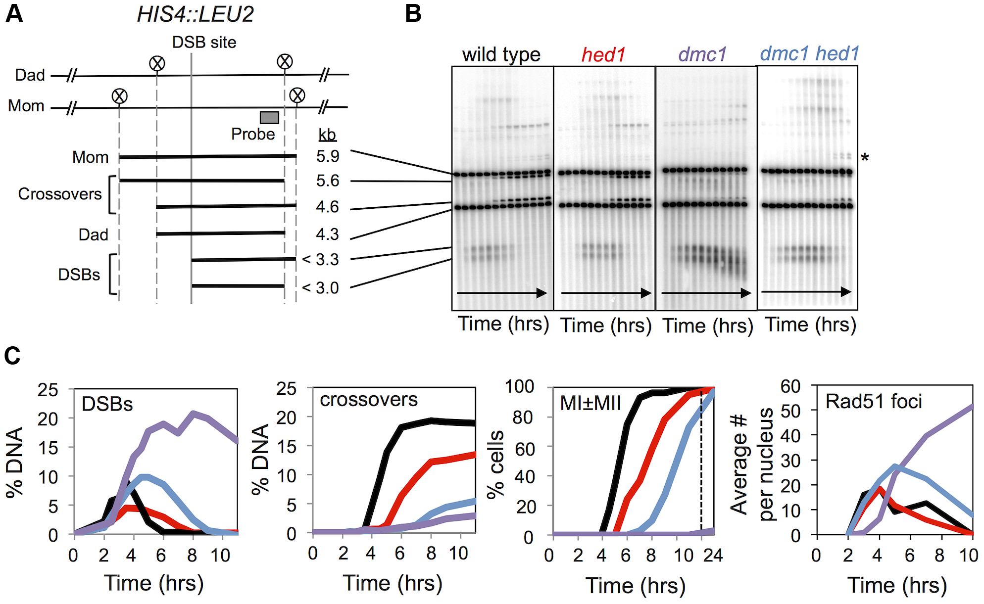 Analysis of DSBs and crossovers in <i>hed1</i> and <i>dmc1 hed1</i> mutants.