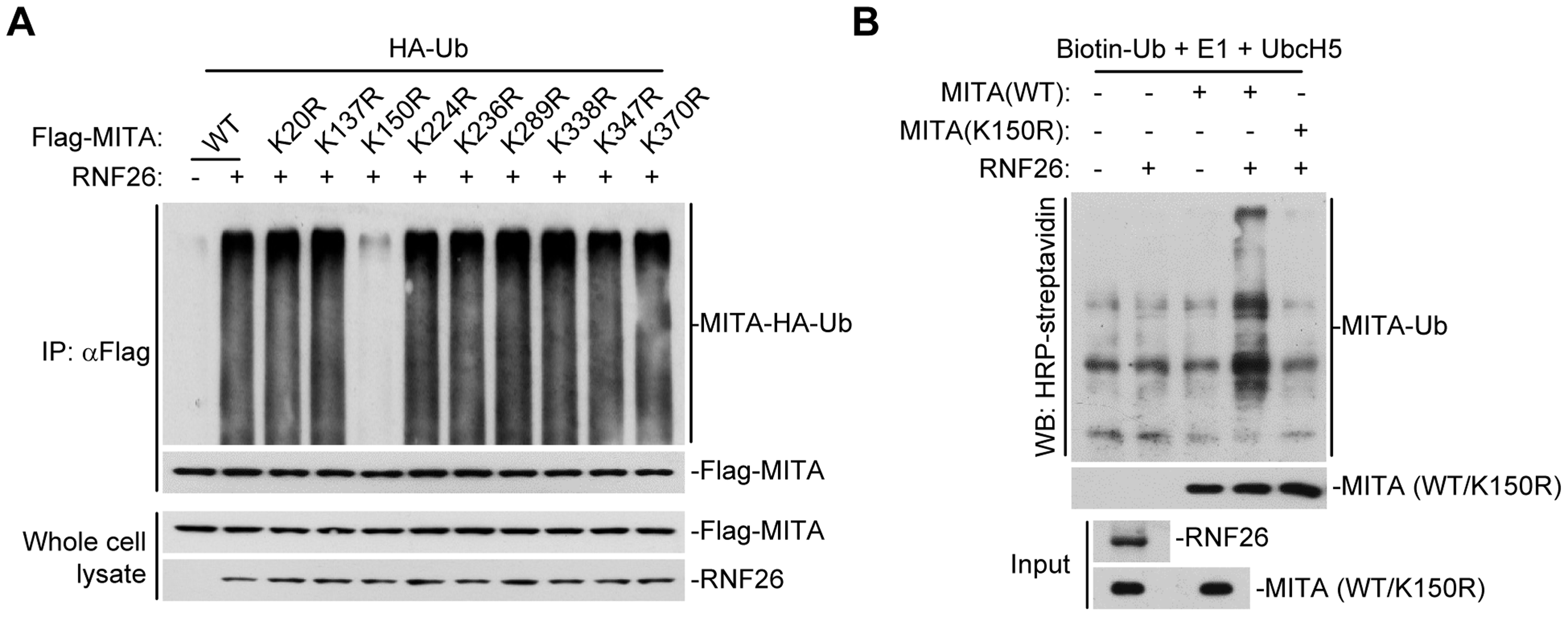 RNF26 promotes polyubiquitination of MITA at K150.
