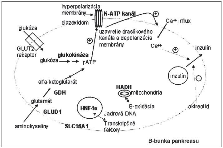 Miesta účinku proteínov, kódovaných génmi, ktoré sú asociované s kongenitálnym hyperinzulinizmom.