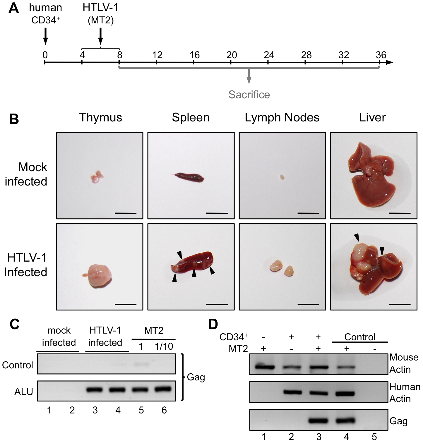 Integration of the HTLV-1 provirus in the genome of human cells in HTLV-1-infected HIS Rag2<sup>-/-</sup>γ<sub>c</sub><sup>-/-</sup> mice.