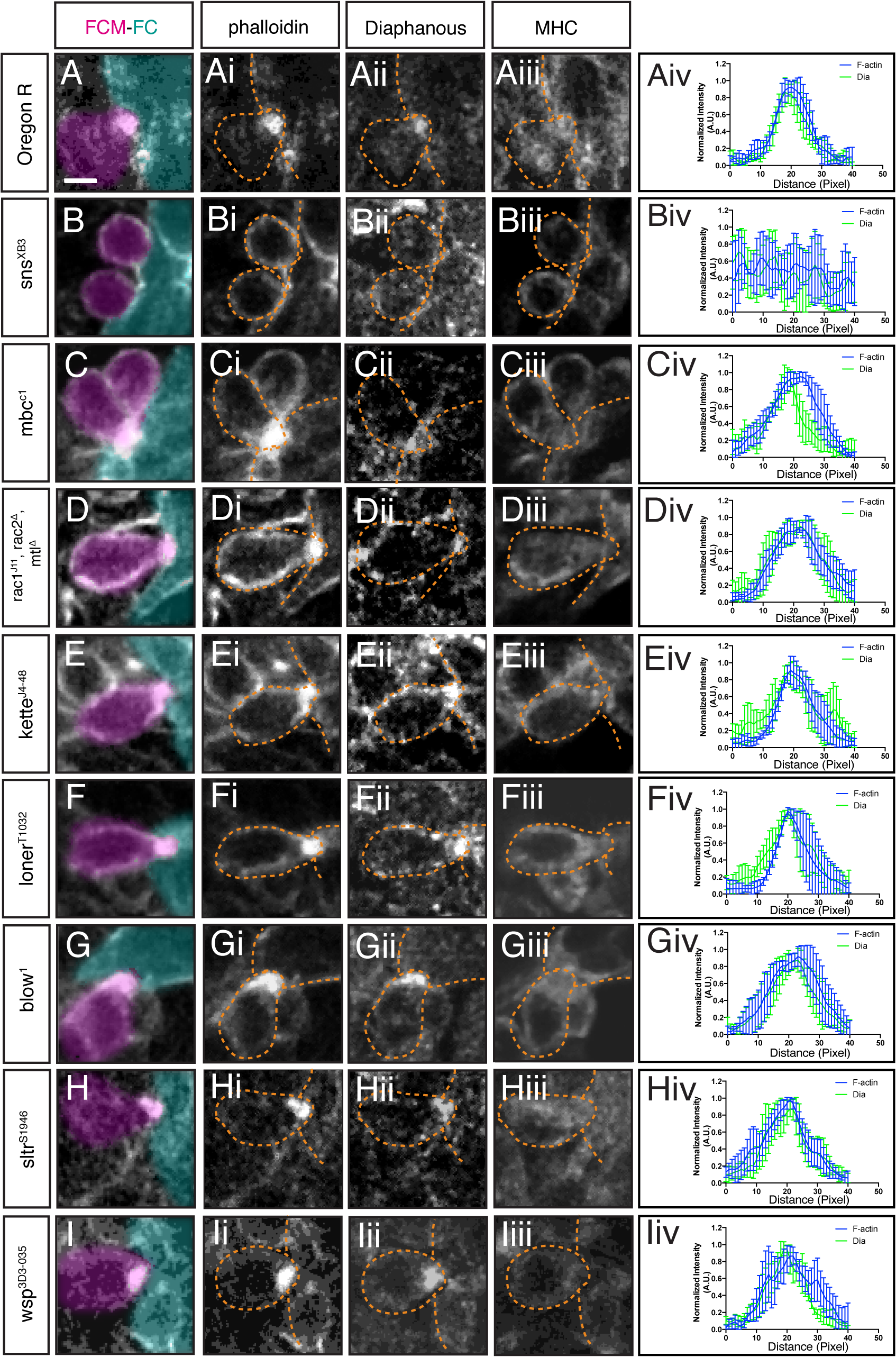 Dia localization at the fusion site is dependent on FC/FCM recognition and adhesion, but independent of regulators of Arp2/3.