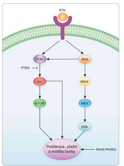 Klíčové signální dráhy v kancerogenezi štítné žlázy.