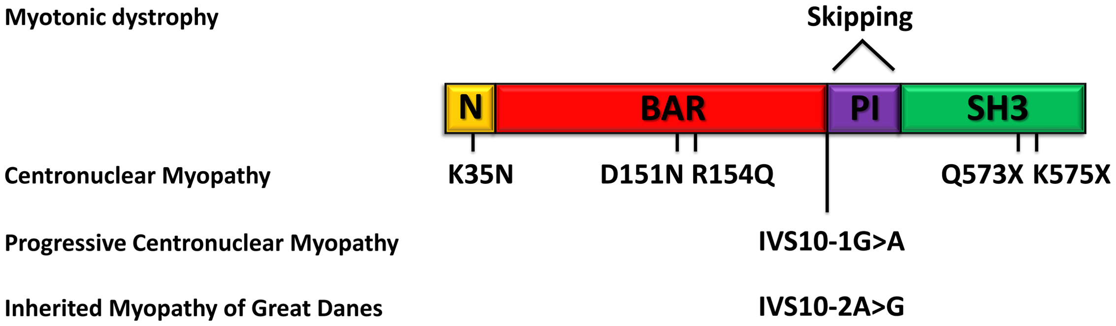 Schematic representation of the amphiphysin 2 domains and <i>BIN1</i> alterations in different myopathies.