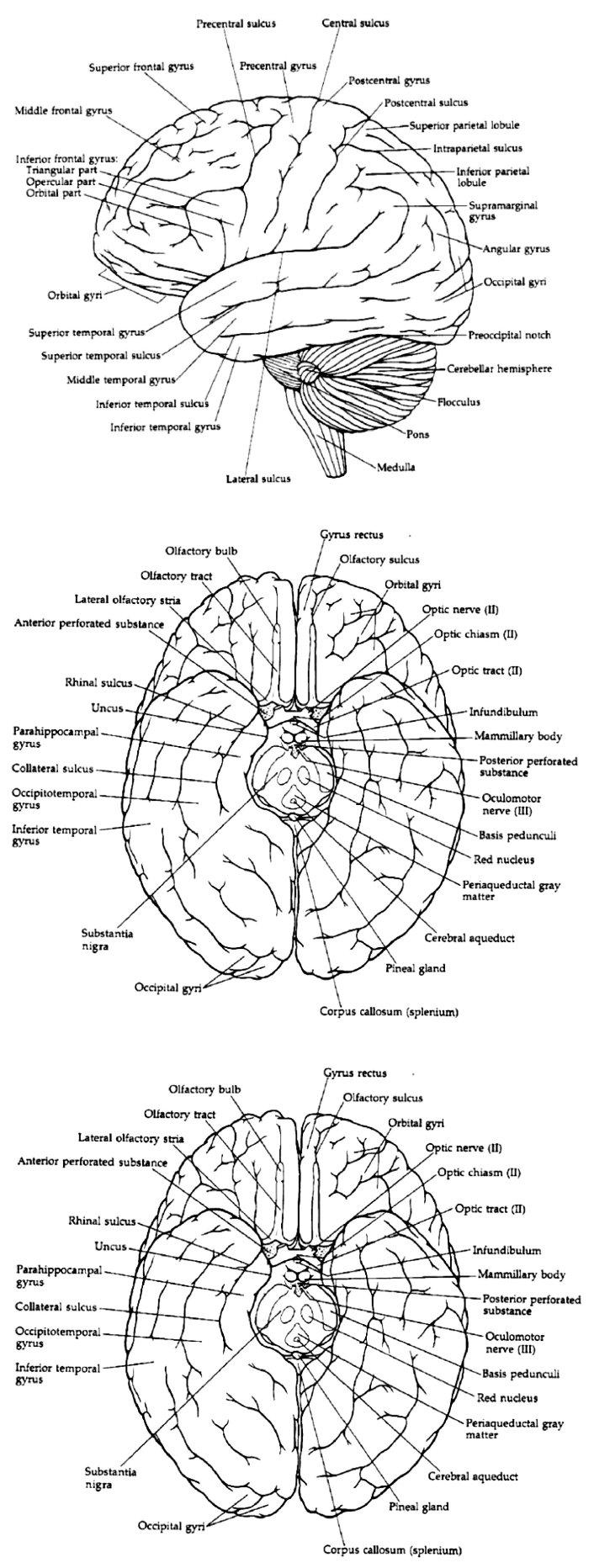 A. Závity a rýhy – zevní plocha levé hemisféry B. Závity a rýhy při pohledu na mozek shora C. Závity a rýhy při pohledu na spodní plochu mozku