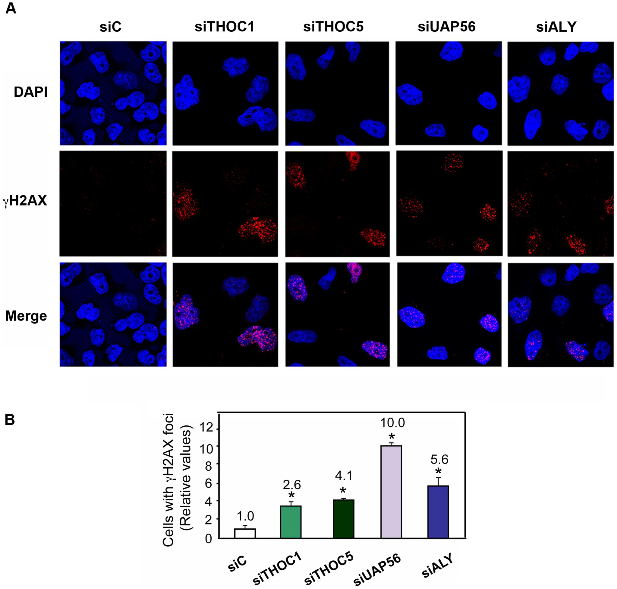 THO/TREX depletion increases cellular DNA damage response.