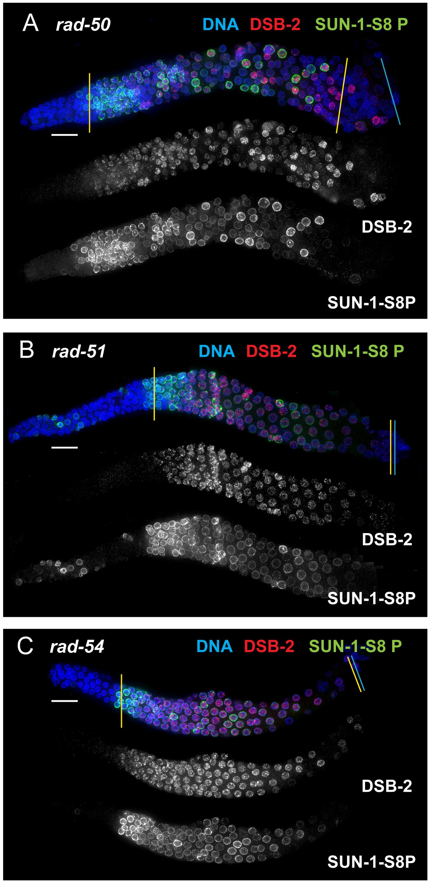 DSB-2 and SUN-1 S8P persist in mutants defective for DSB repair.