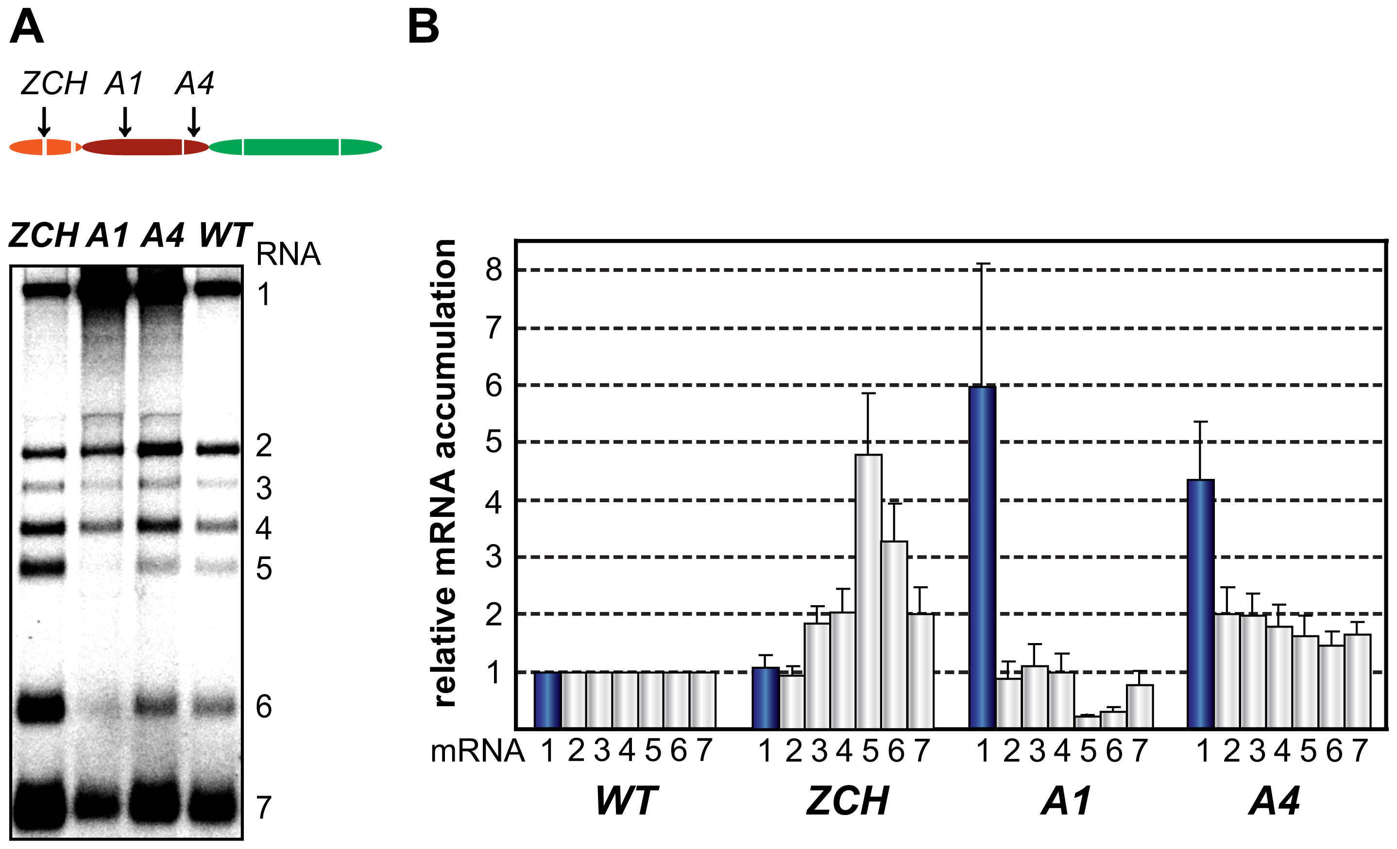 Multiple mutations in nsp1 exert species-specific effects on viral mRNA accumulation.