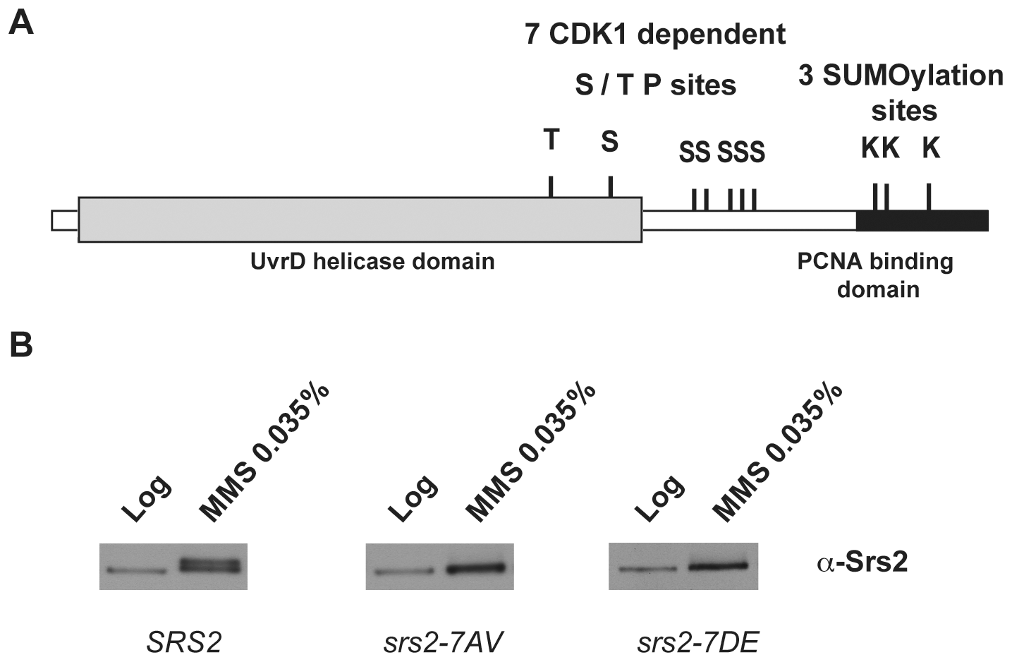 Srs2 contains consensus sites for multiple post-translational modifications.