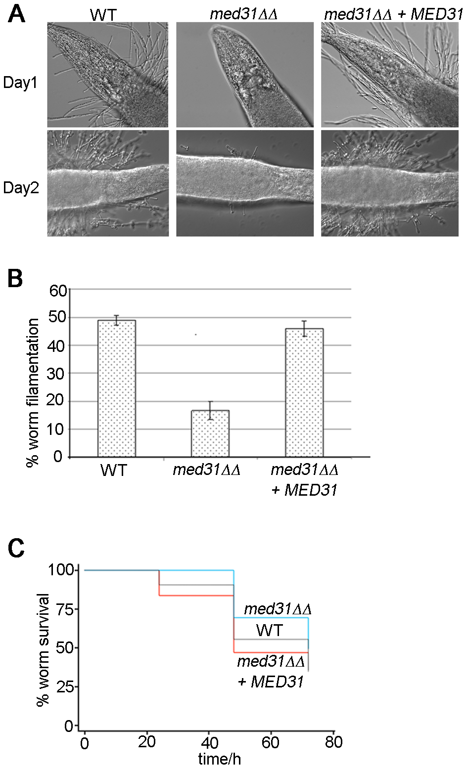 The <i>med31ΔΔ</i> mutant is defective for filamentation and virulence in an animal host.