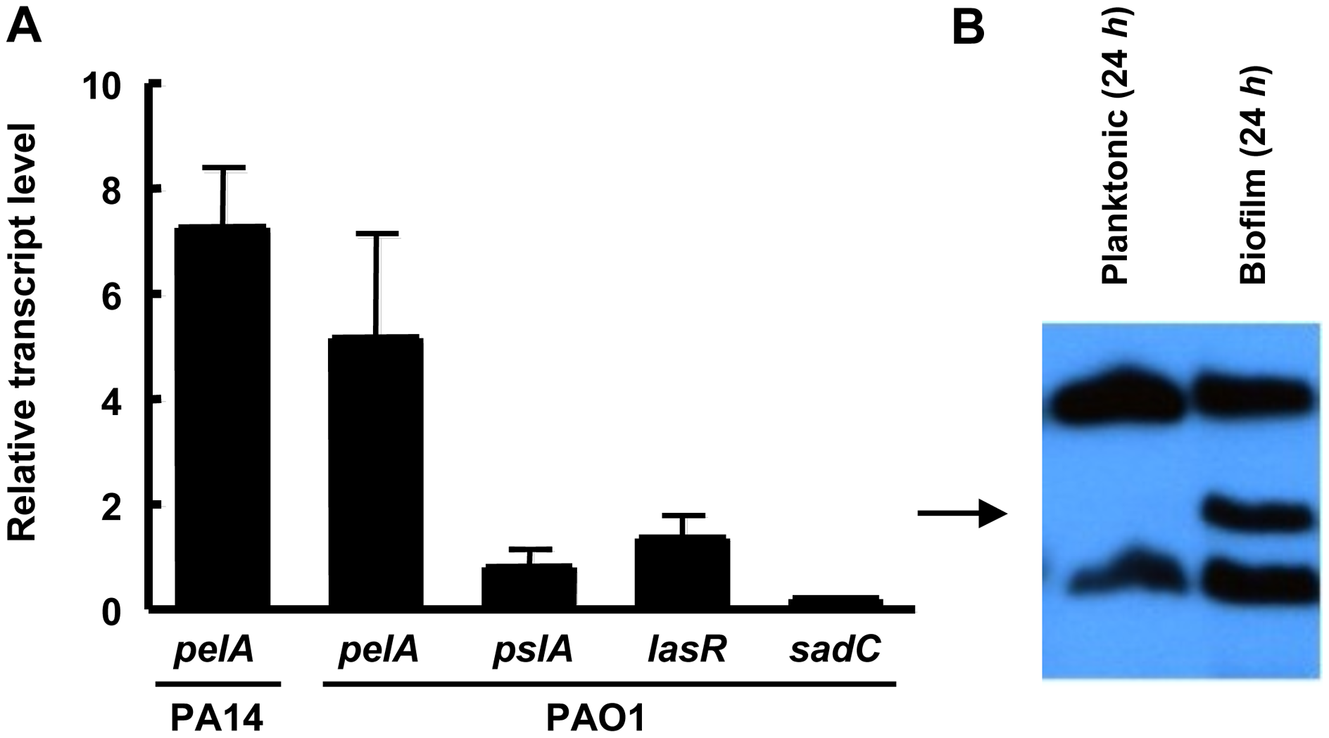 <i>pel</i> expression is elevated during biofilm growth.