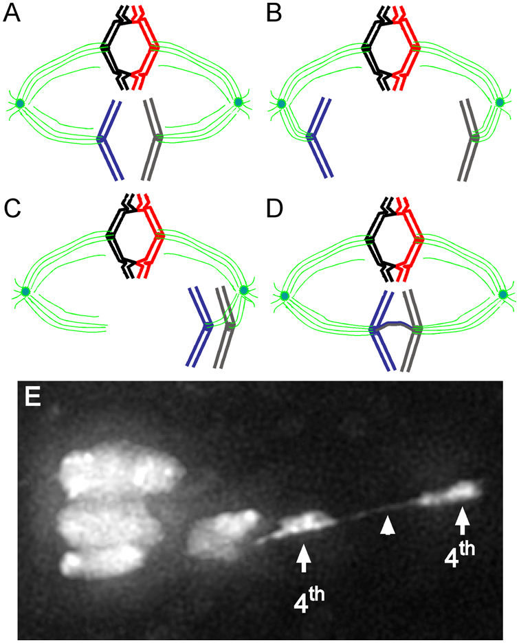Model for achiasmate chromosome segregation.