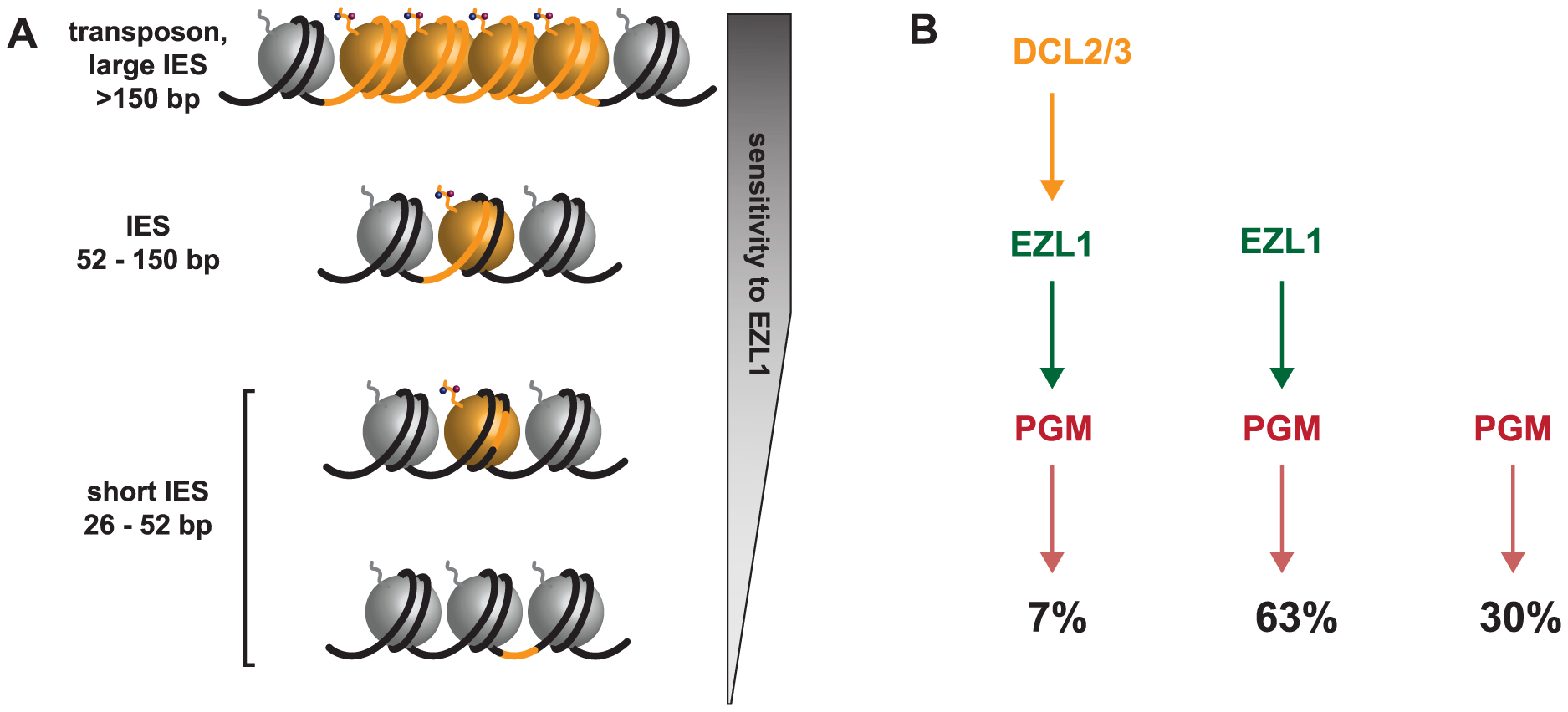 Model for the action of the histone methyltransferase Ezl1 in programmed genome rearrangements and schematic representation of partially overlapping pathways involved in IES excision.