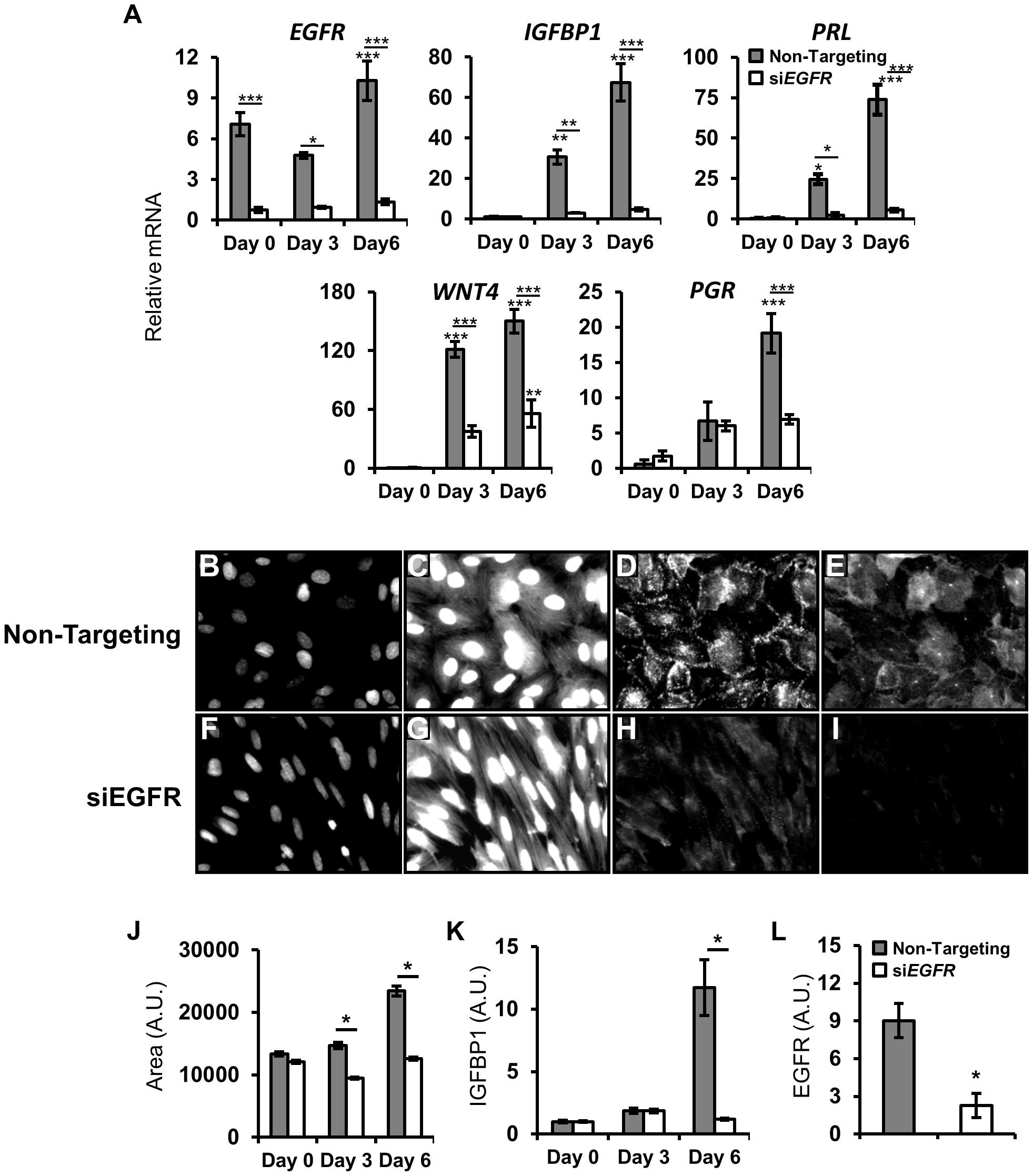 <i>EGFR</i> attenuation inhibits human endometrial stromal cell (HESC) decidualization.