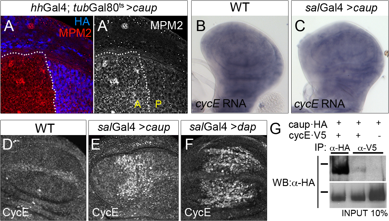 Functional and physical interaction of Caup with the CycE/Cdk2 complex.