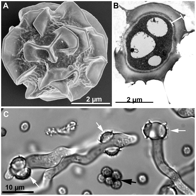 <i>Aspergillus fumigatus</i> ascospores.