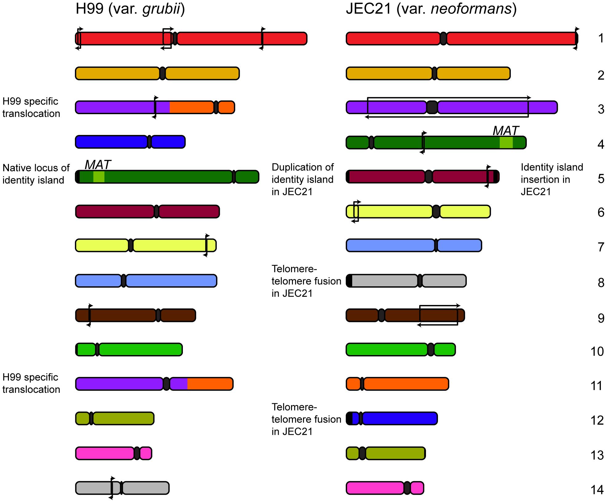Genomic comparisons between var. <i>grubii</i> and var. <i>neoformans</i> reveal relatively few rearrangements.