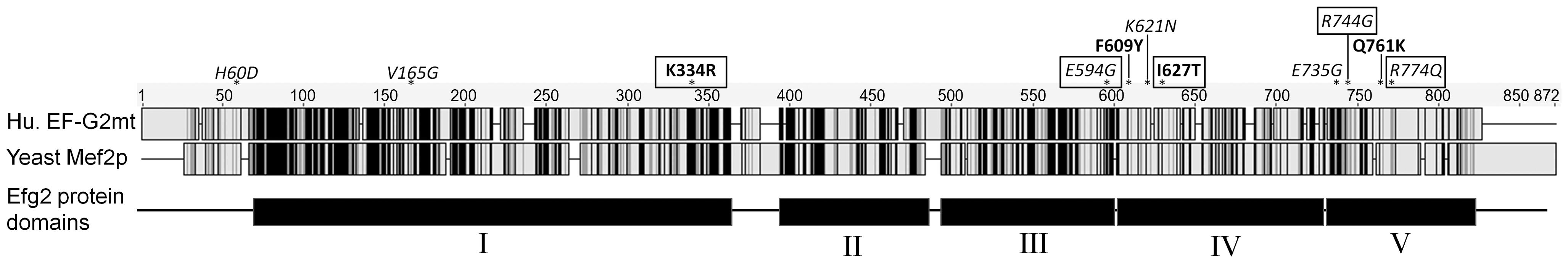 EF-G2mt protein variants.