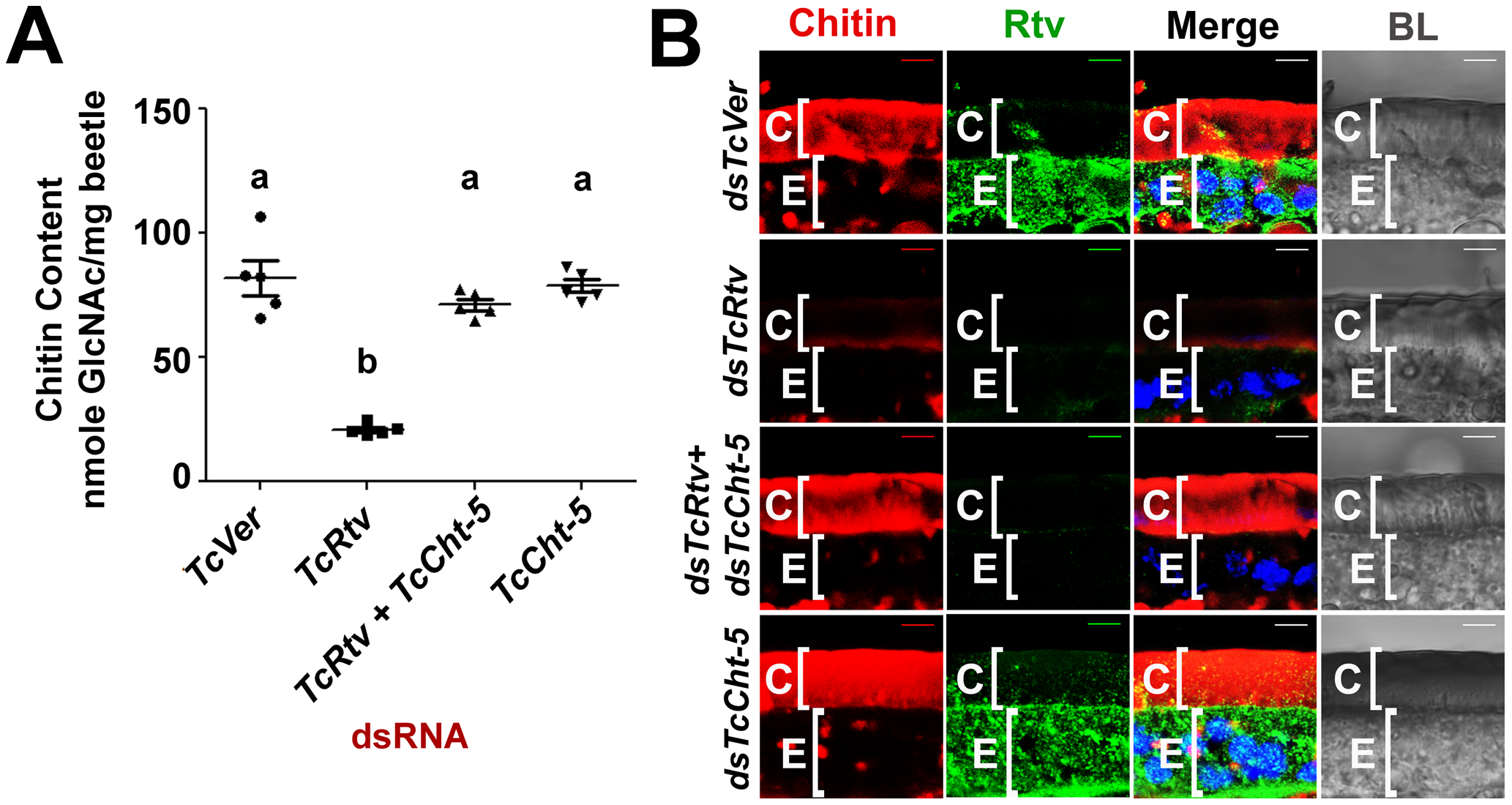 TcRtv prevents chitinase-mediated degradation of procuticular chitin.