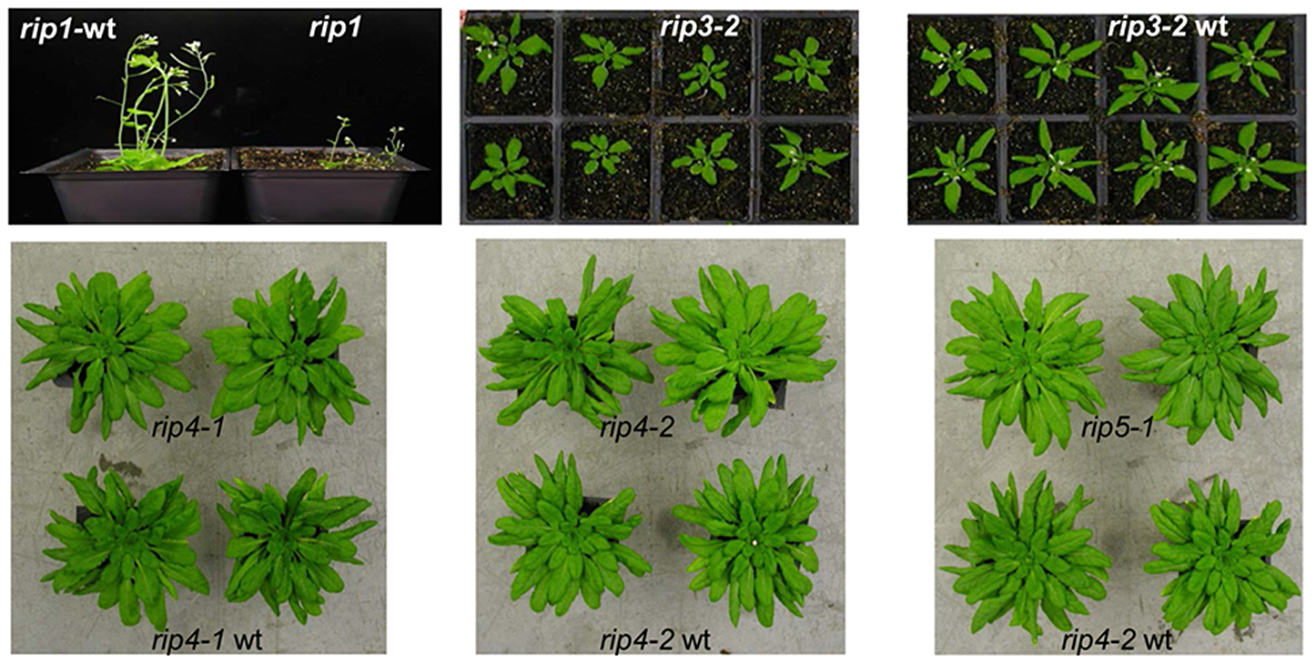 The <i>rip1</i> mutant is the only mutant in our study with a severe defective phenotype.