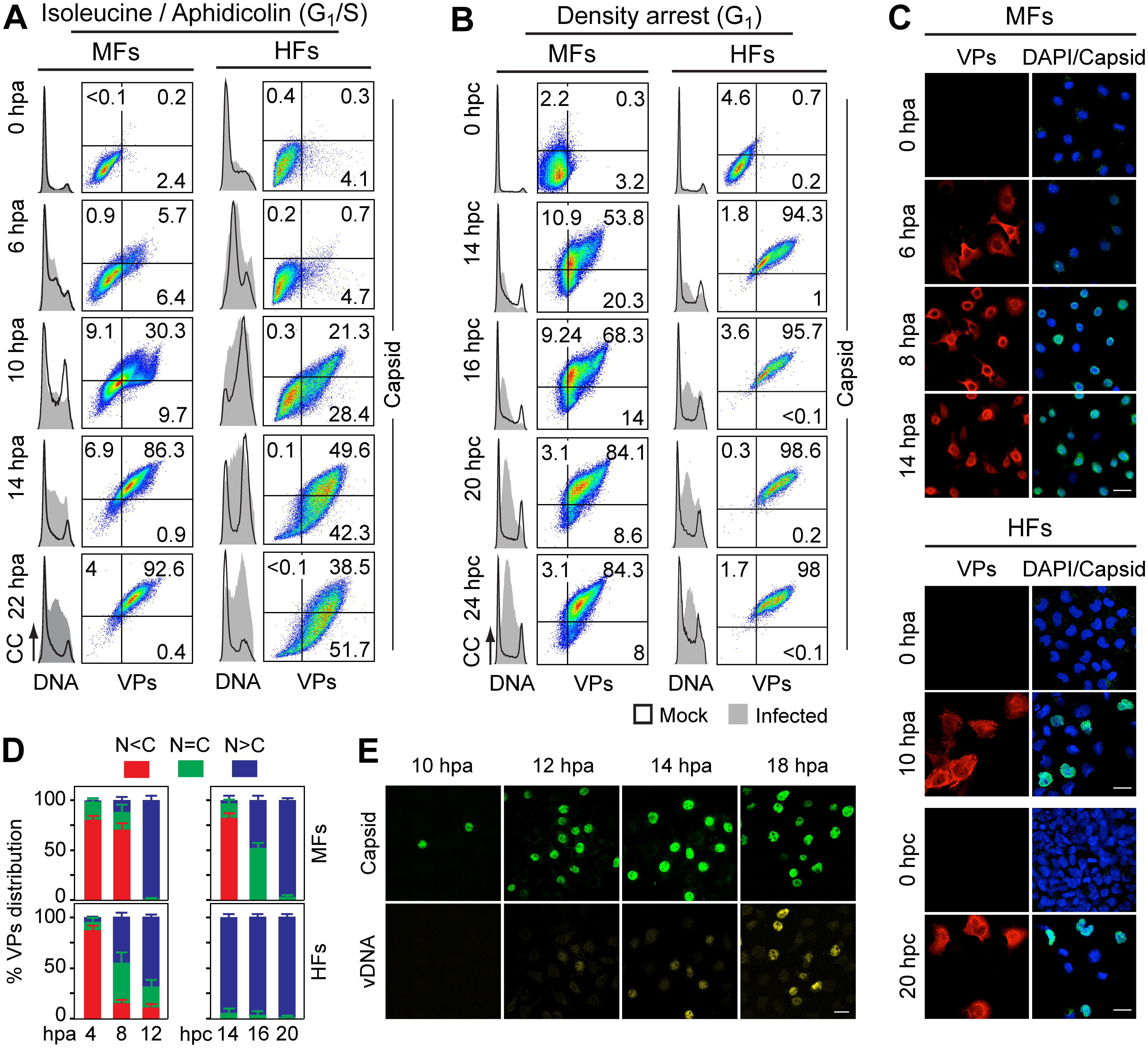 Cell cycle dependence of VPs expression and capsid assembly in the synchronous MVM infection of mammalian fibroblasts.