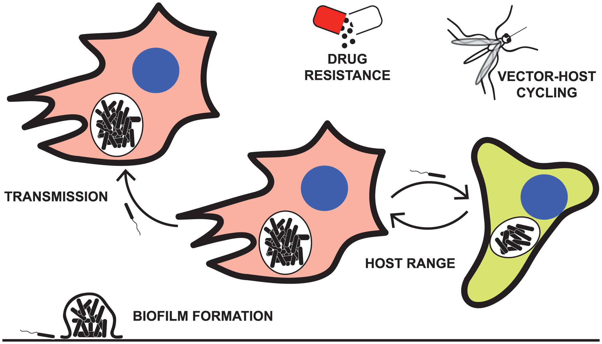 Some of the pathogenic characteristics explored by laboratory passage models.
