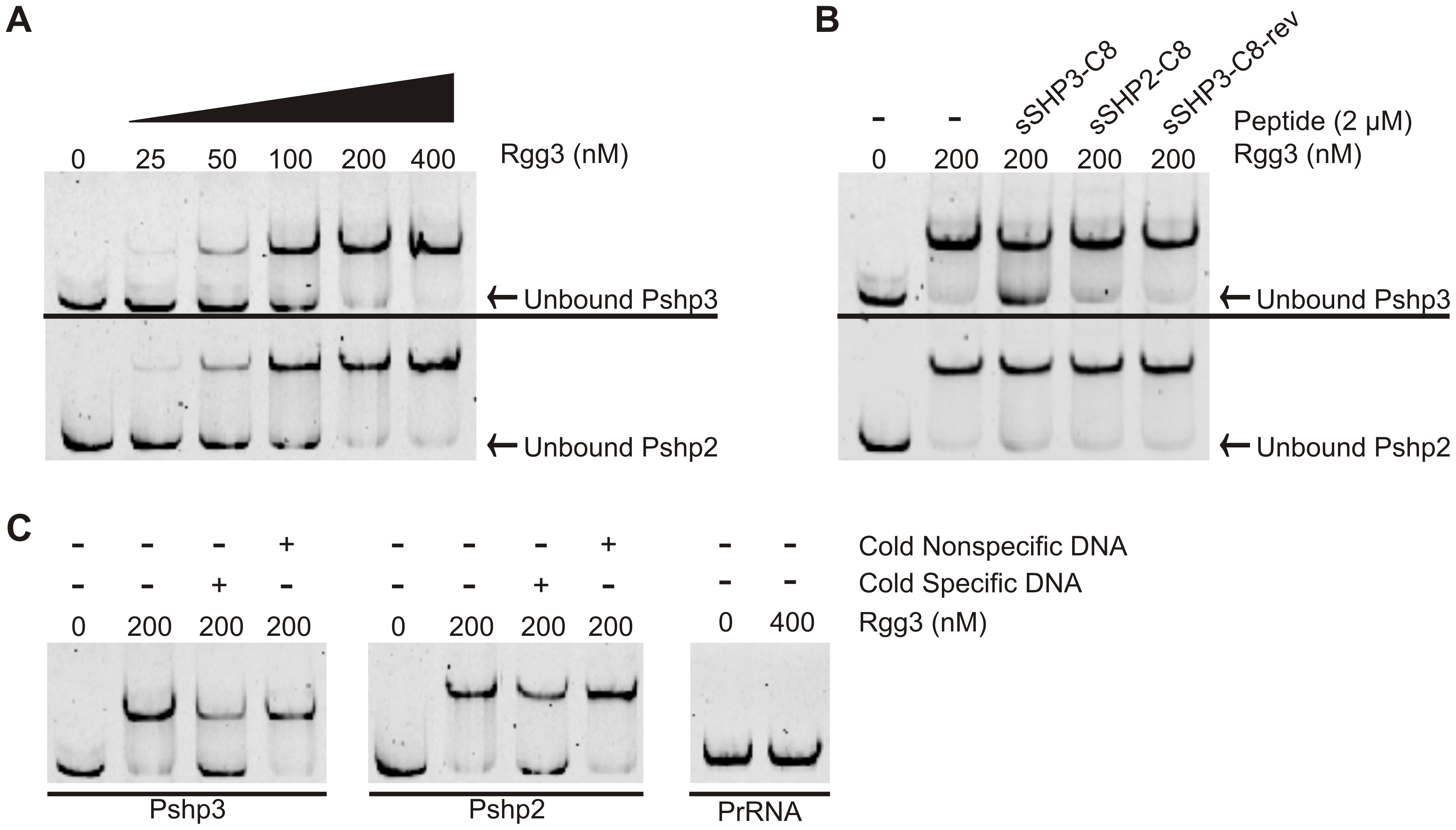 Rgg3 binds to <i>shp3</i> and <i>shp2</i> promoter regions but can be disrupted by cognate SHPs.