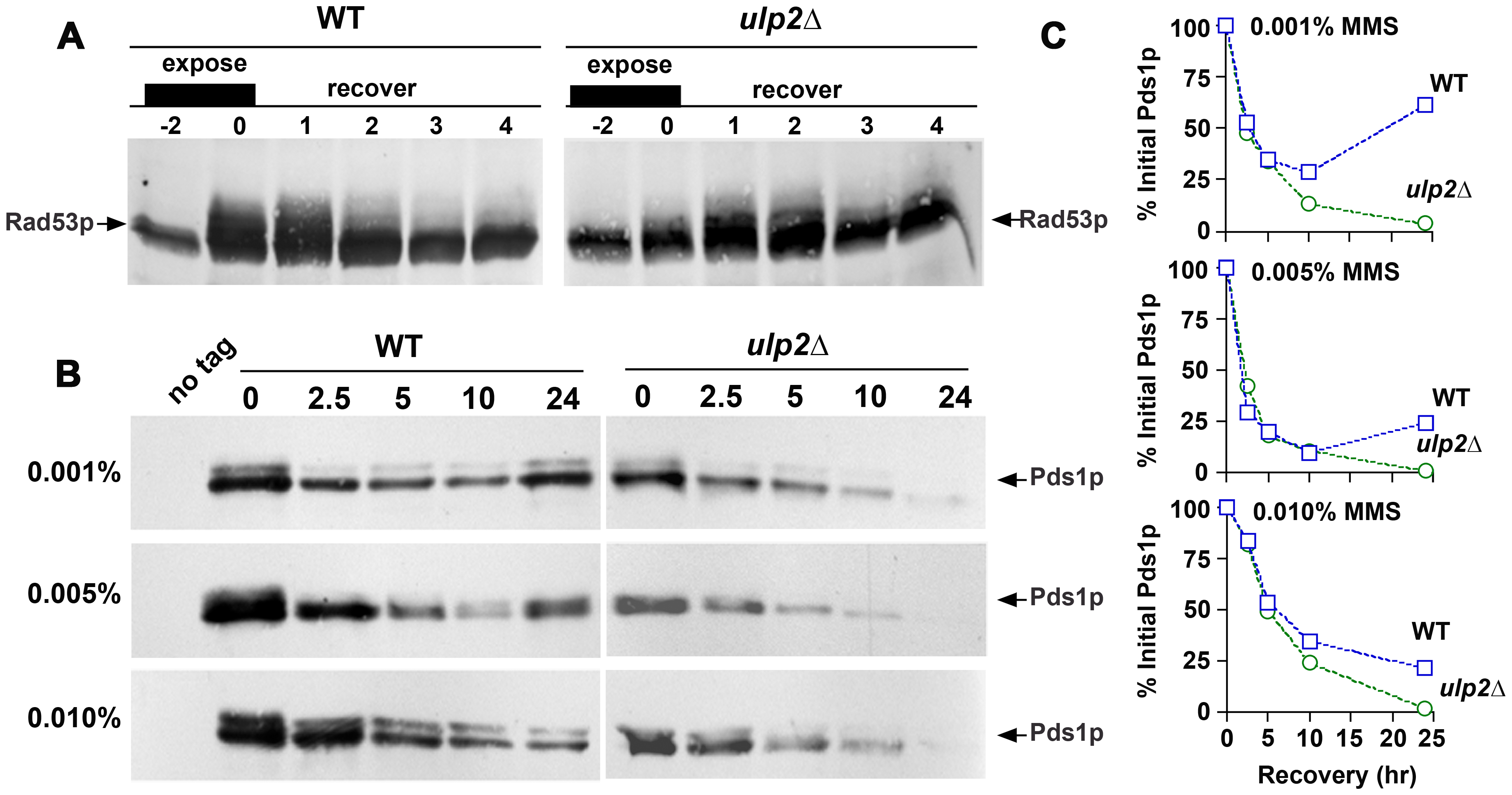 <i>ulp2</i>Δ <b>mutants terminate checkpoint signaling and commit to anaphase after MMS treatment.</b>