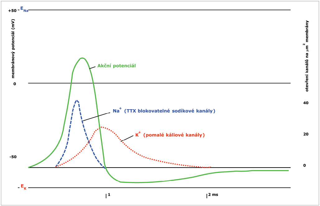 Akční potenciál s vyznačením časového vztahu i počtu otevřených kanálů pro Na<sup>+</sup> napěťově řízení kanály a pomalé K<sup>+</sup> kanály (volně dle Ganonga) [4].