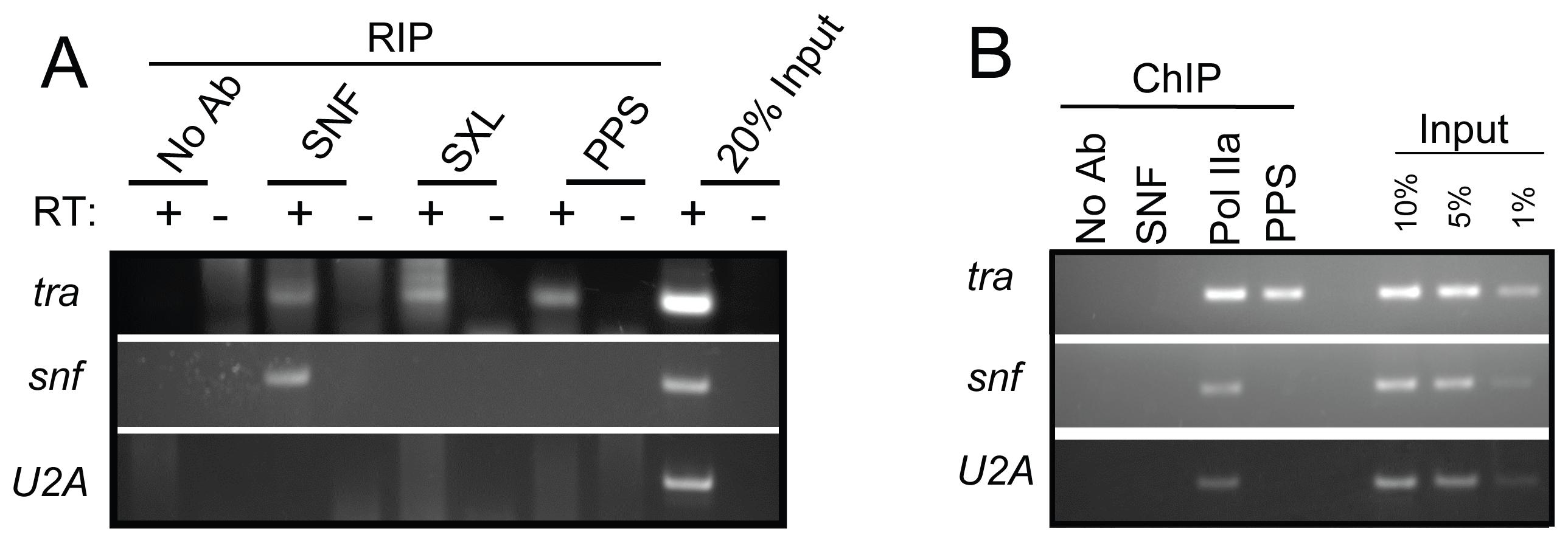 <i>tra</i> is a PPS target gene.