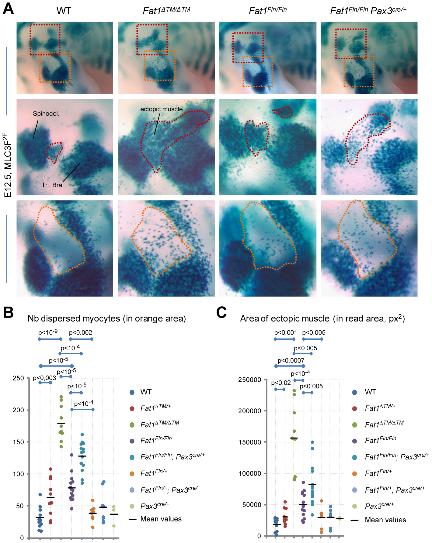 Ablation of <i>Fat1</i> in premigratory myoblasts using <i>Pax3-cre</i> partially reproduces the muscle migration/shape abnormalities of the constitutive knockout.