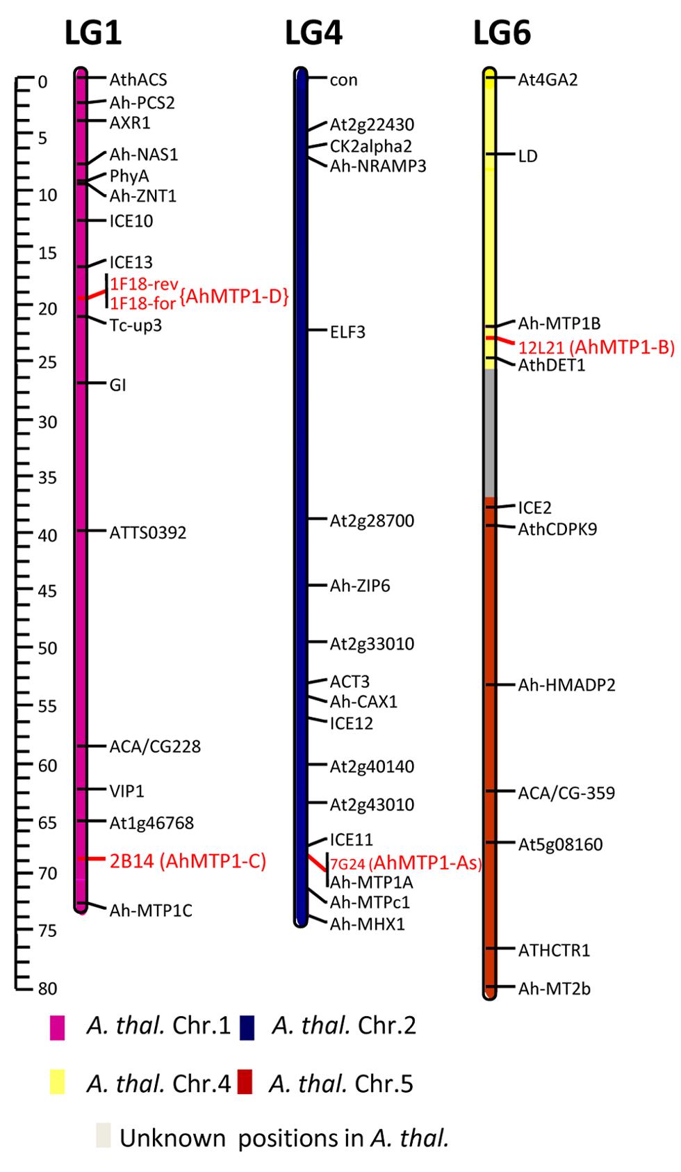 Mapping of the <i>AhMTP1</i> paralogues on the <i>A. halleri</i> × <i>A. lyrata petraea</i> BC1 linkage map.