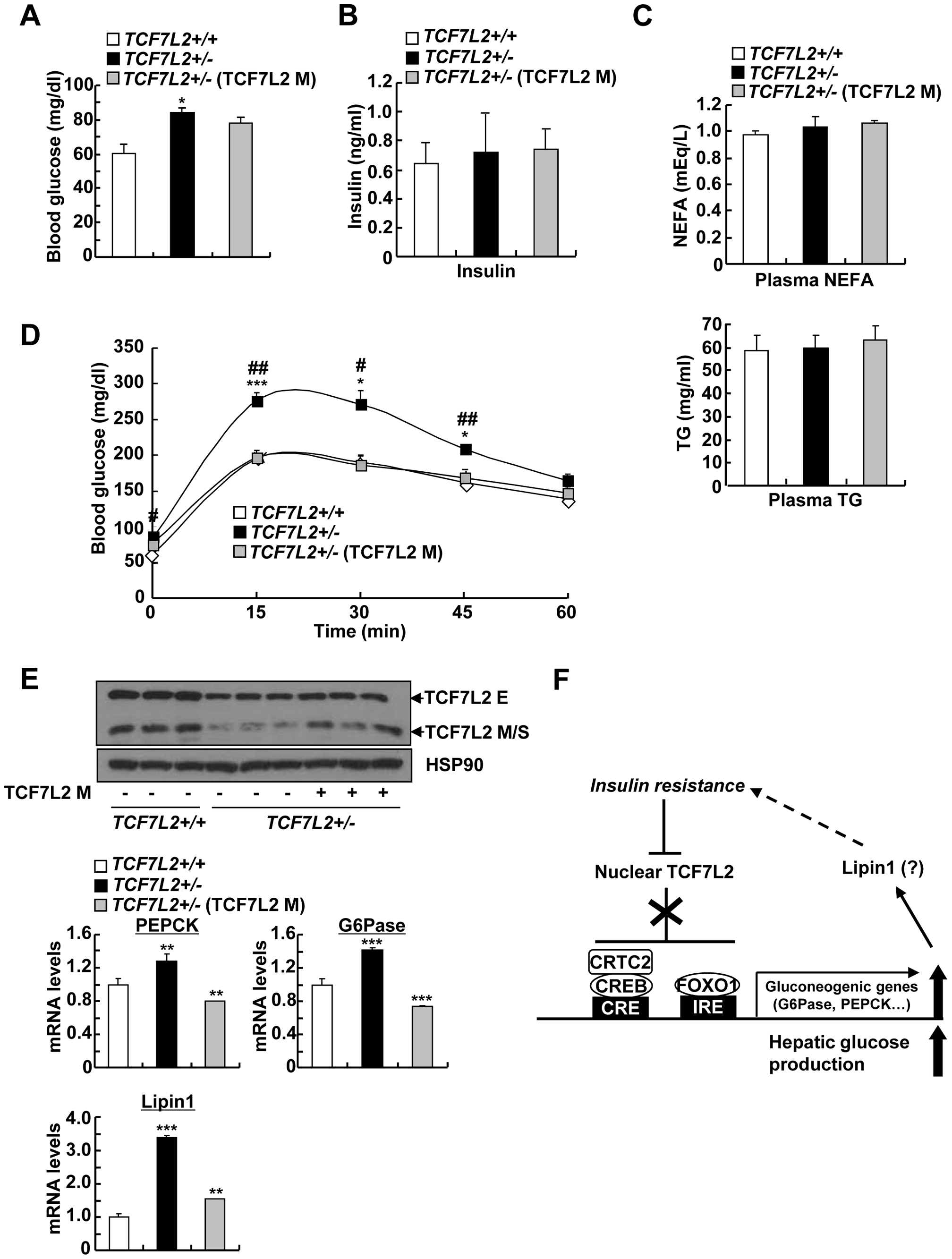 Mild ectopic expression of TCF7L2 M in the liver improves glycemic phenotypes in TCF7L2+/- mice.