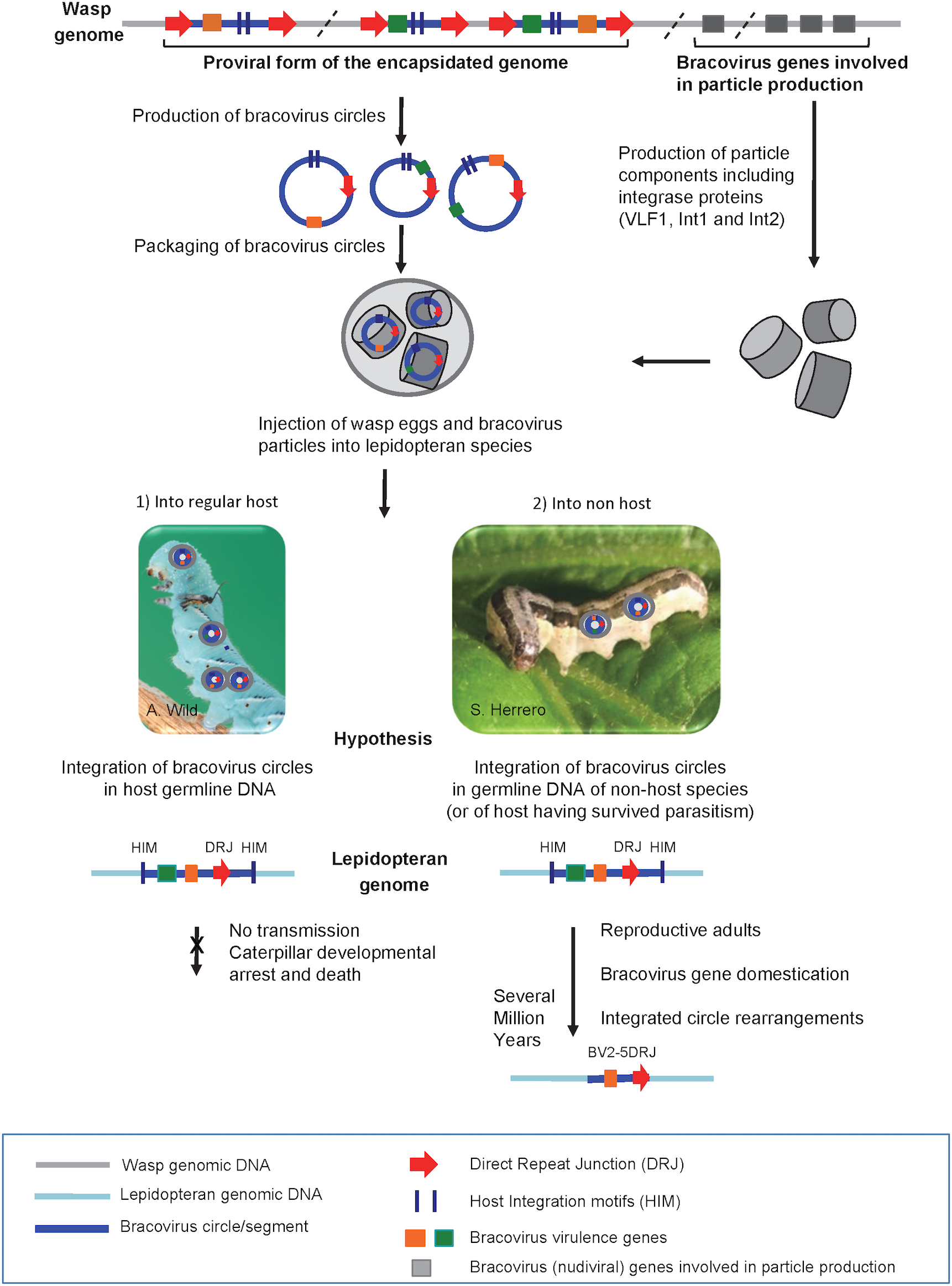 Production of bracovirus particles by the parasitoid wasp <i>C</i>. <i>congregata</i> and hypothesis on the process leading to transfer of bracovirus sequences to lepidopteran genomes.