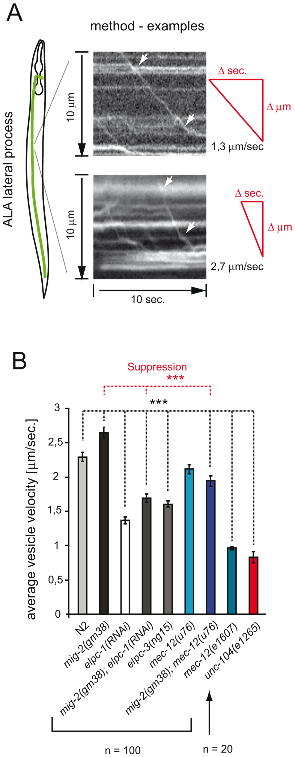 Velocity of Dense Core Vesicles is regulated by acetylation of α-tubulin.