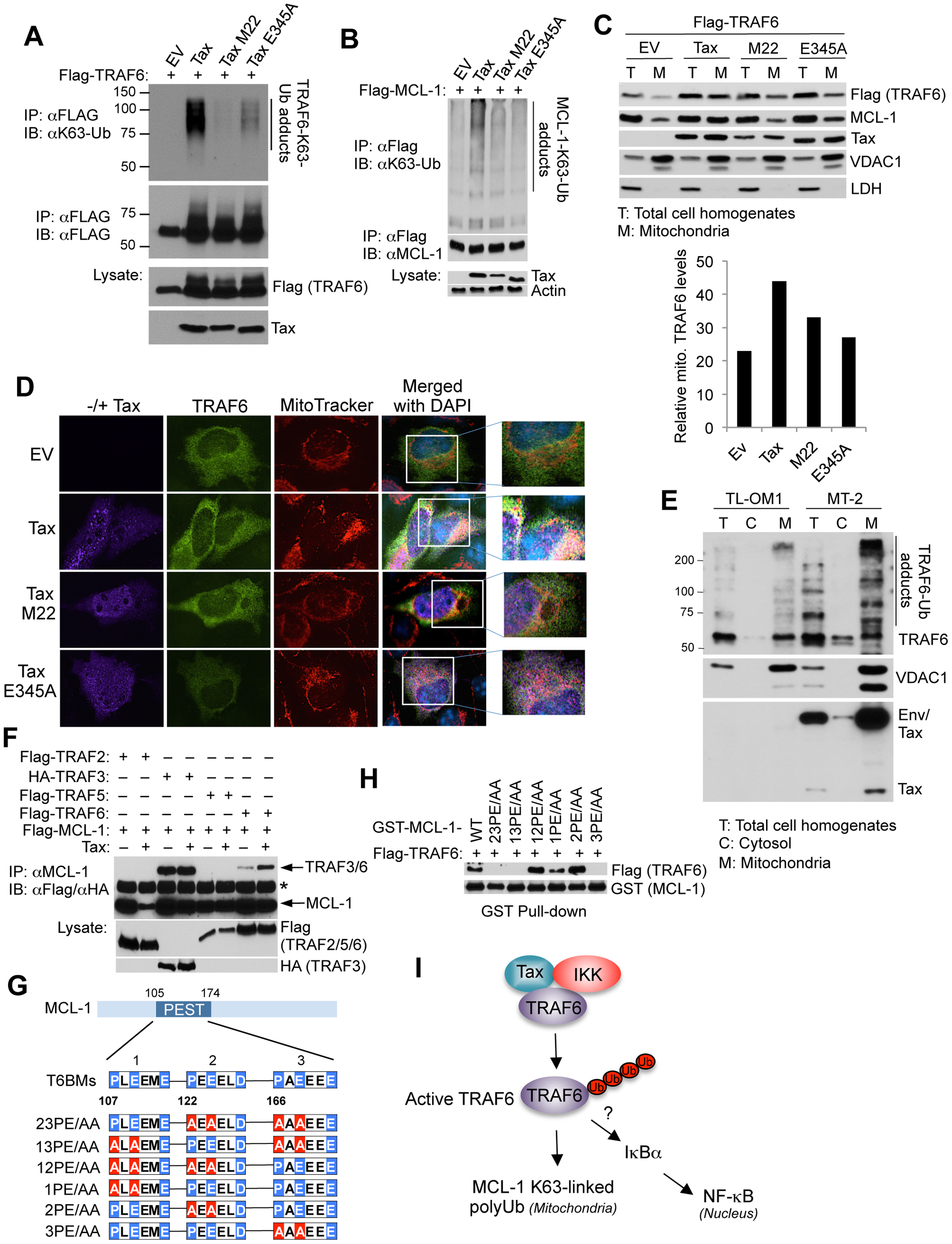 Tax activates TRAF6 and enhances its interaction with MCL-1 in the mitochondria.