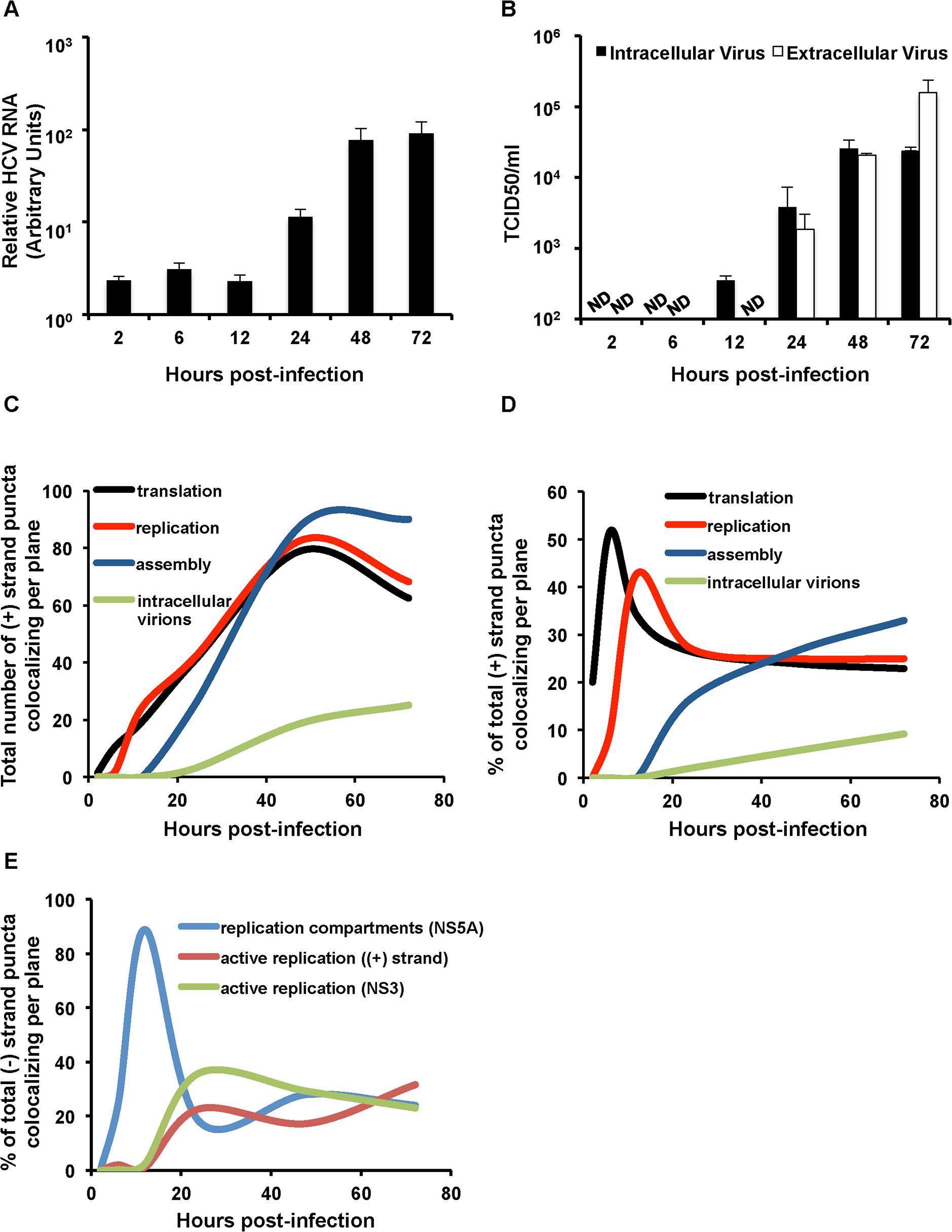 Kinetic analysis of genomic RNA fate.