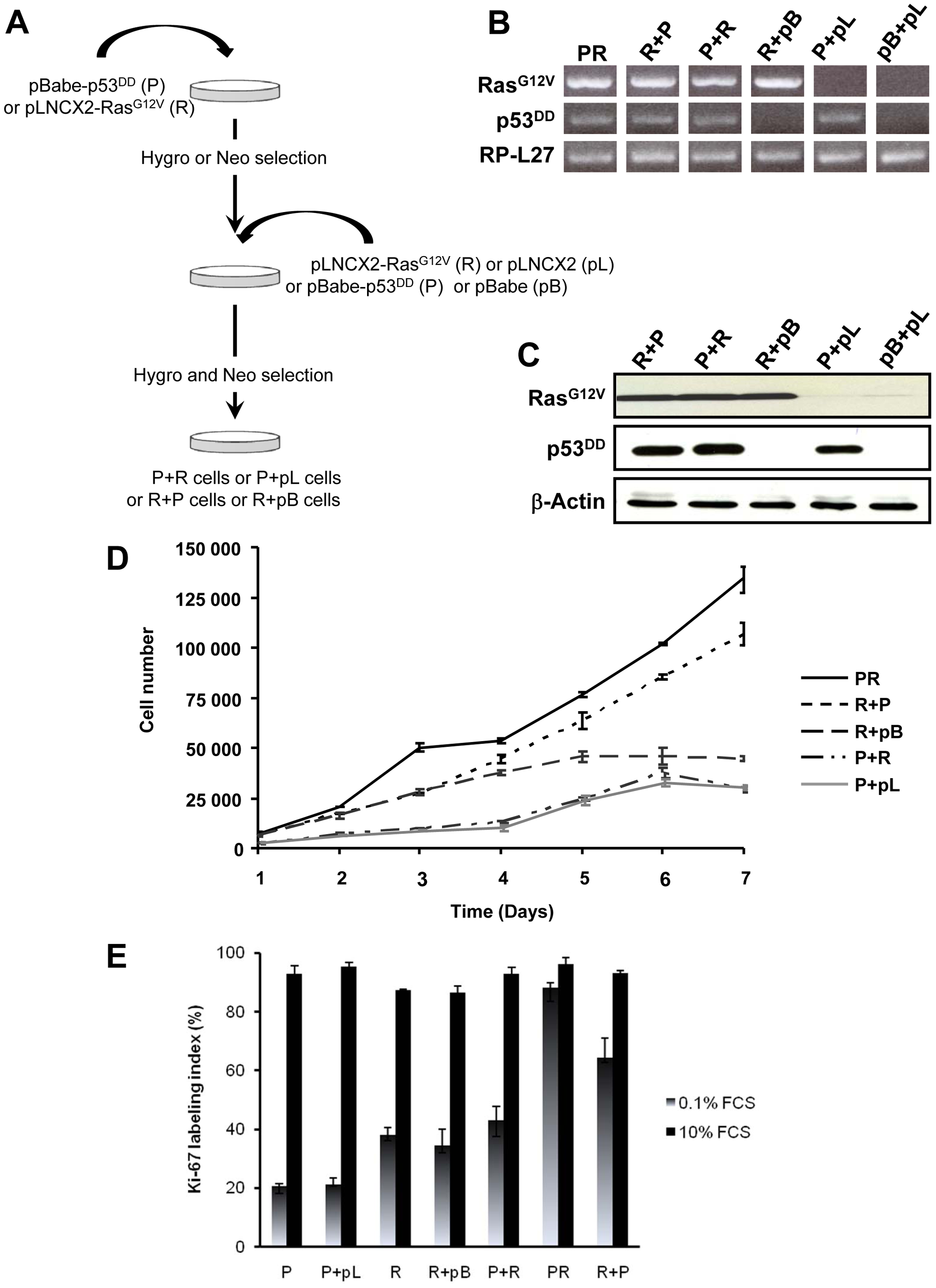 <i>In vitro</i> characterization of BAC cells transduced with p53<sup>DD</sup> and Ras<sup>G12V</sup> in succession and in distinct orders.